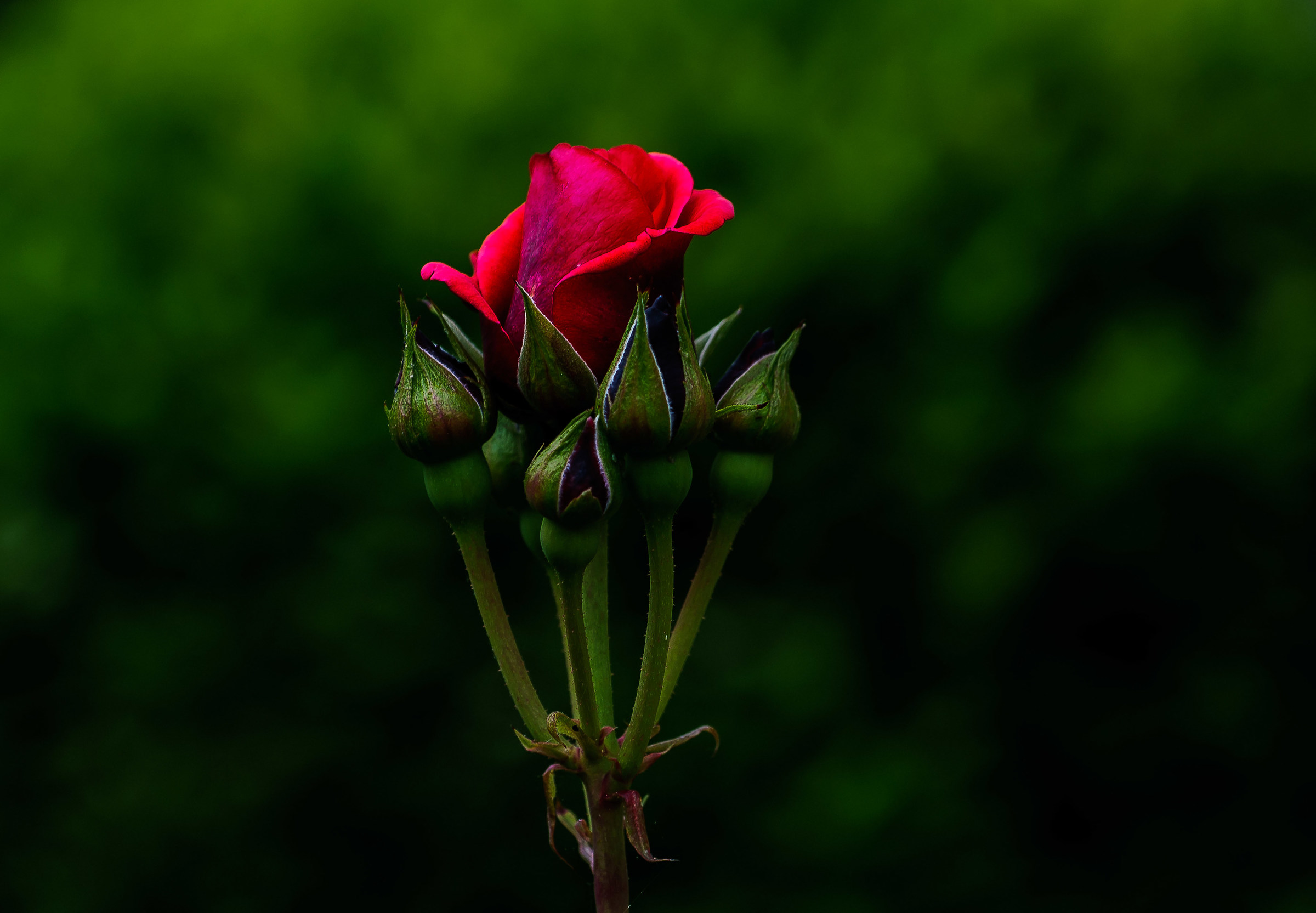 The rose is blooming...