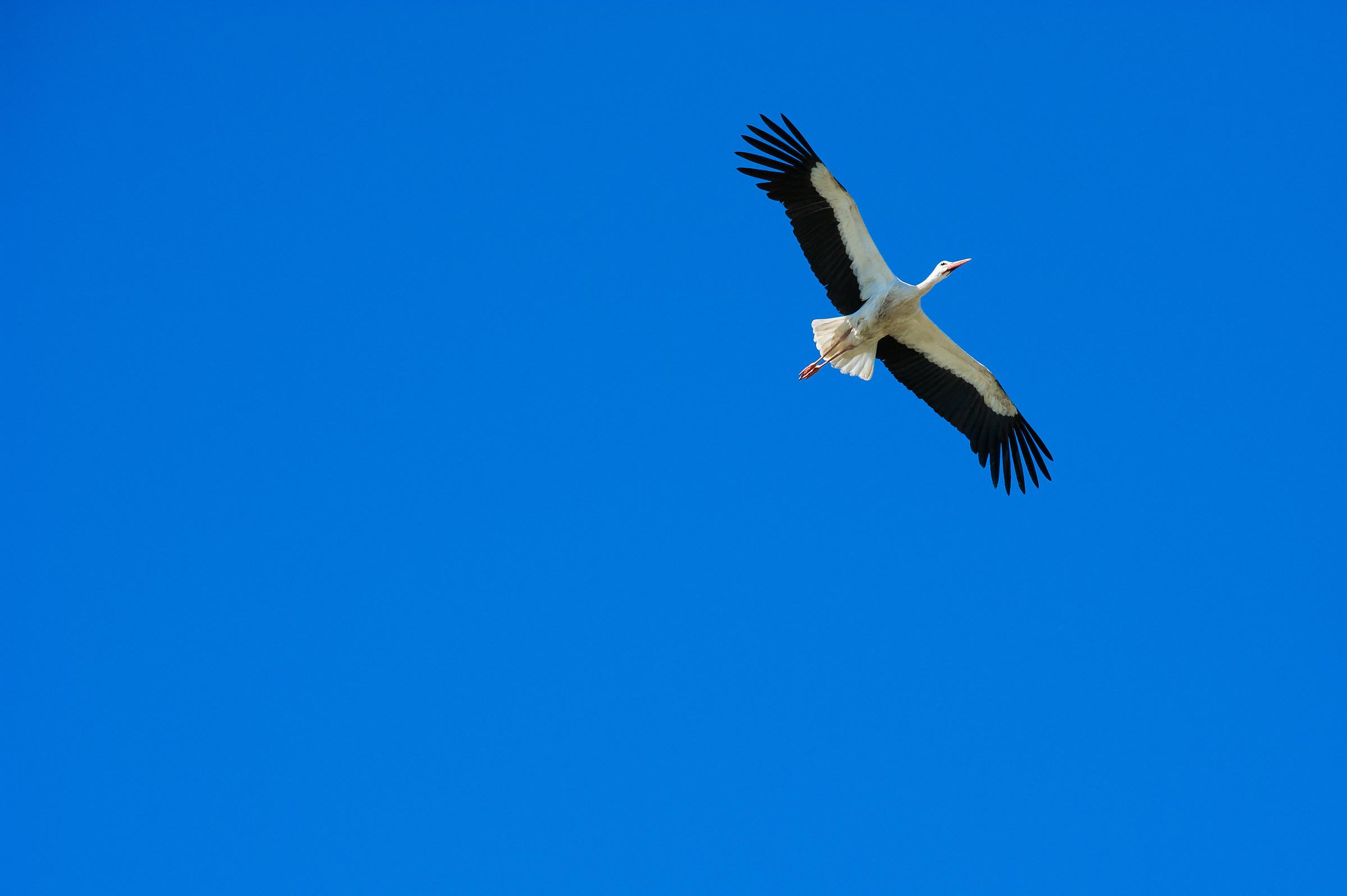 Stork in flight...