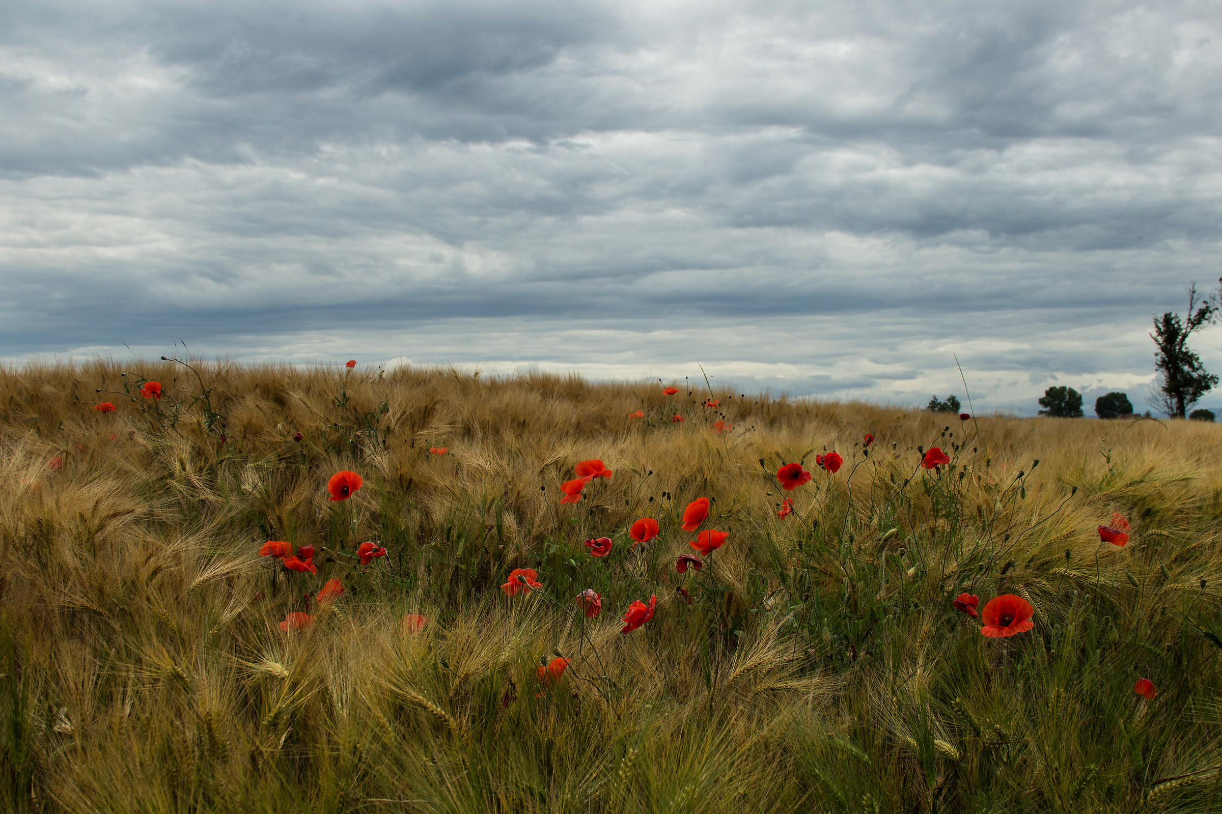 Poppies and clouds...