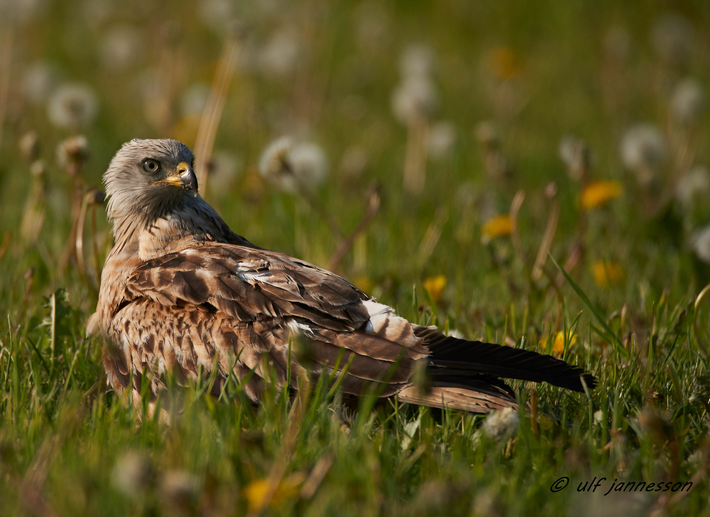 Red kite in high grass...