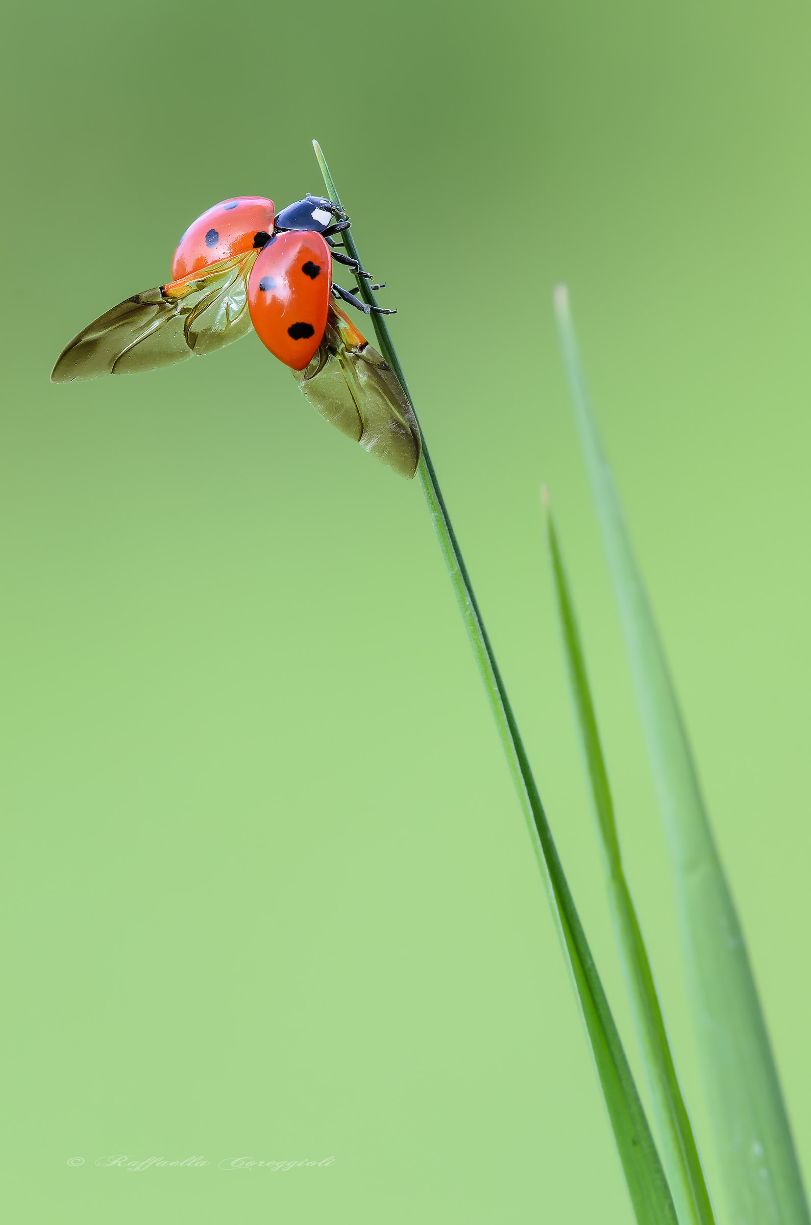 Lap dances of Ladybug...