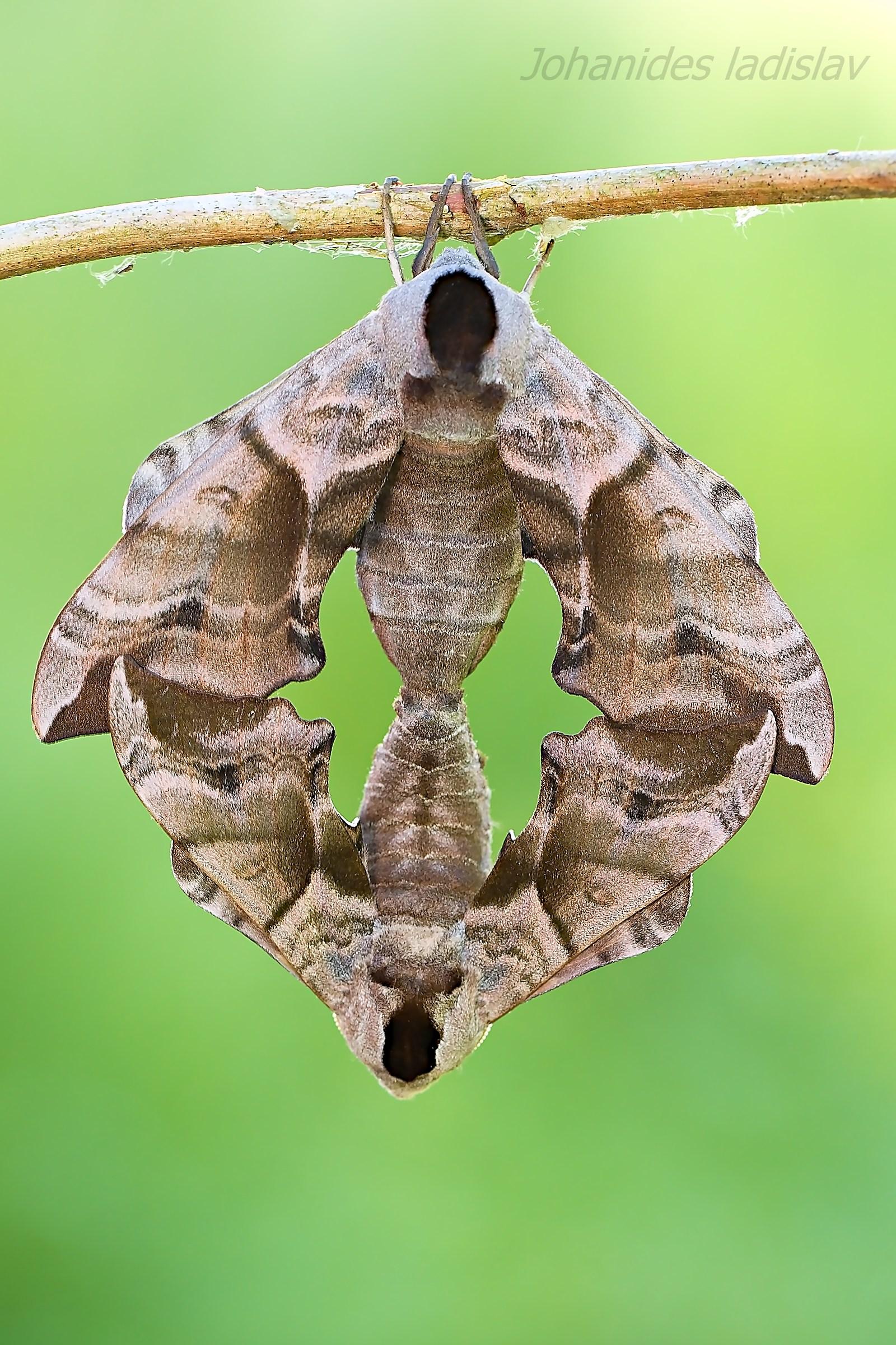 Smerinthus ocellatus...