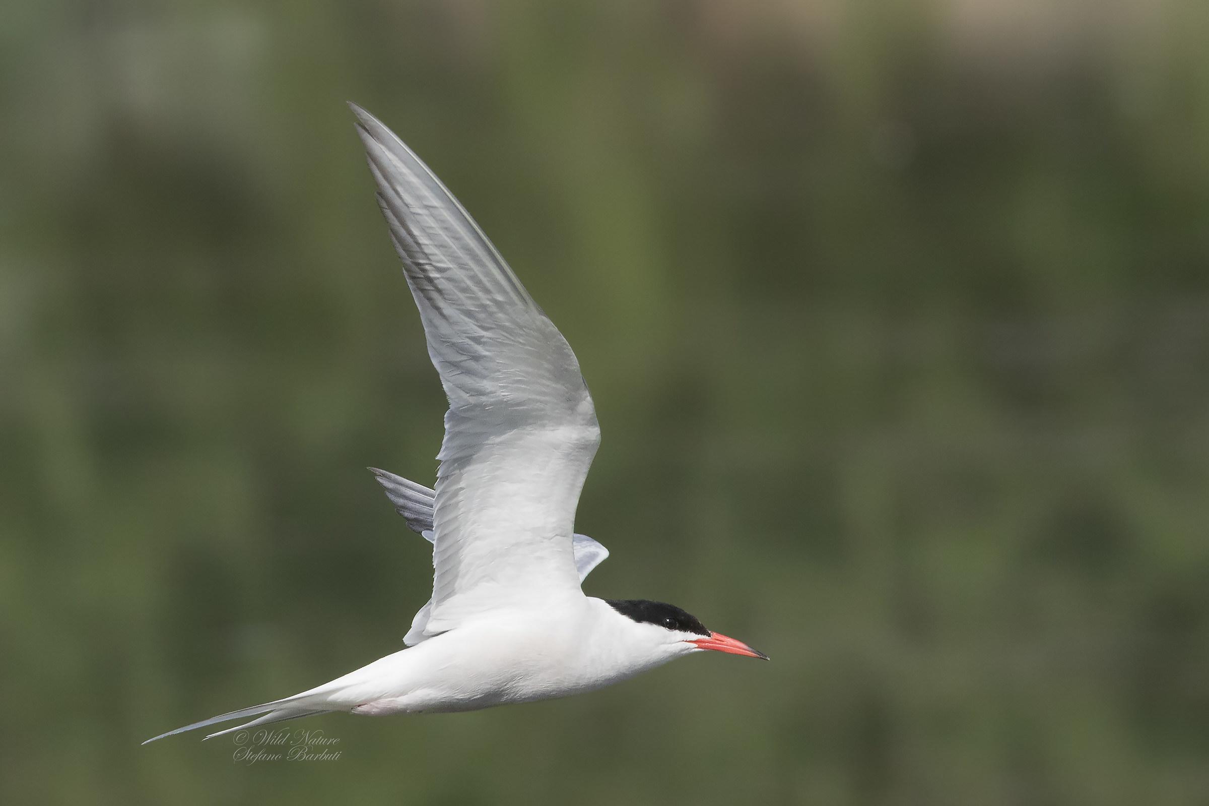 Tern in low-flying...