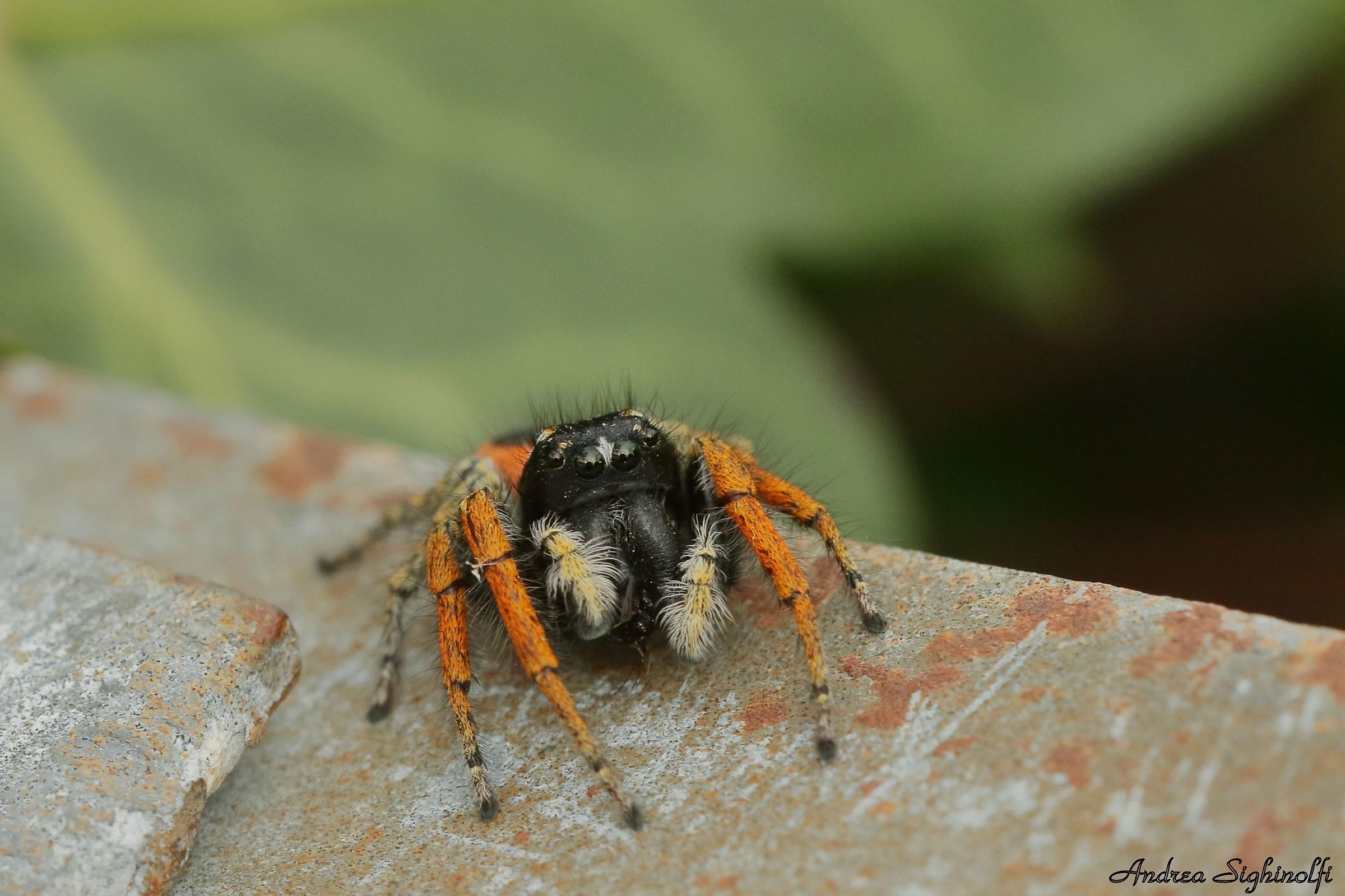 Jumper spider...