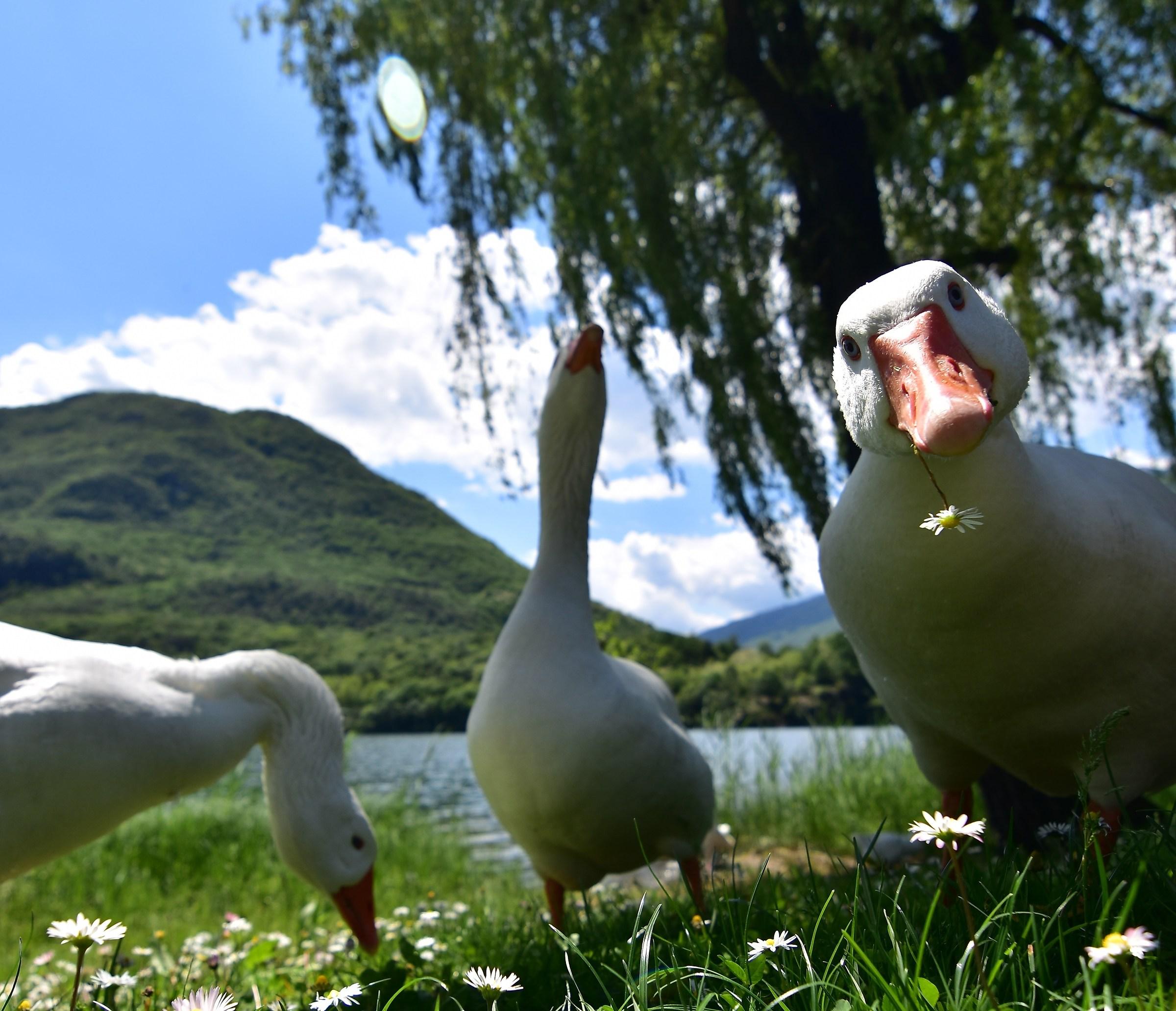 Look of romantic duck...