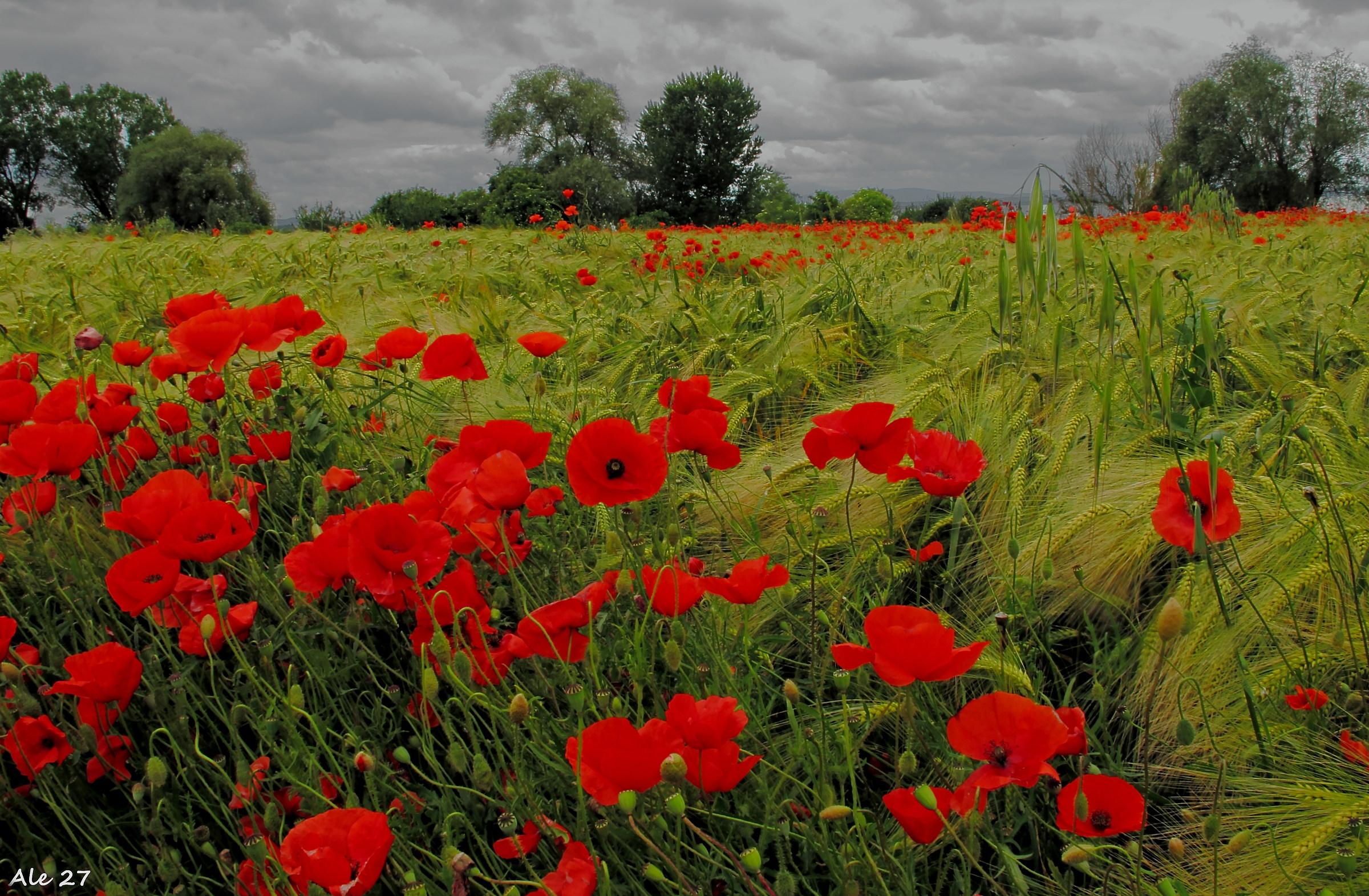 ... Like a poppy field .......