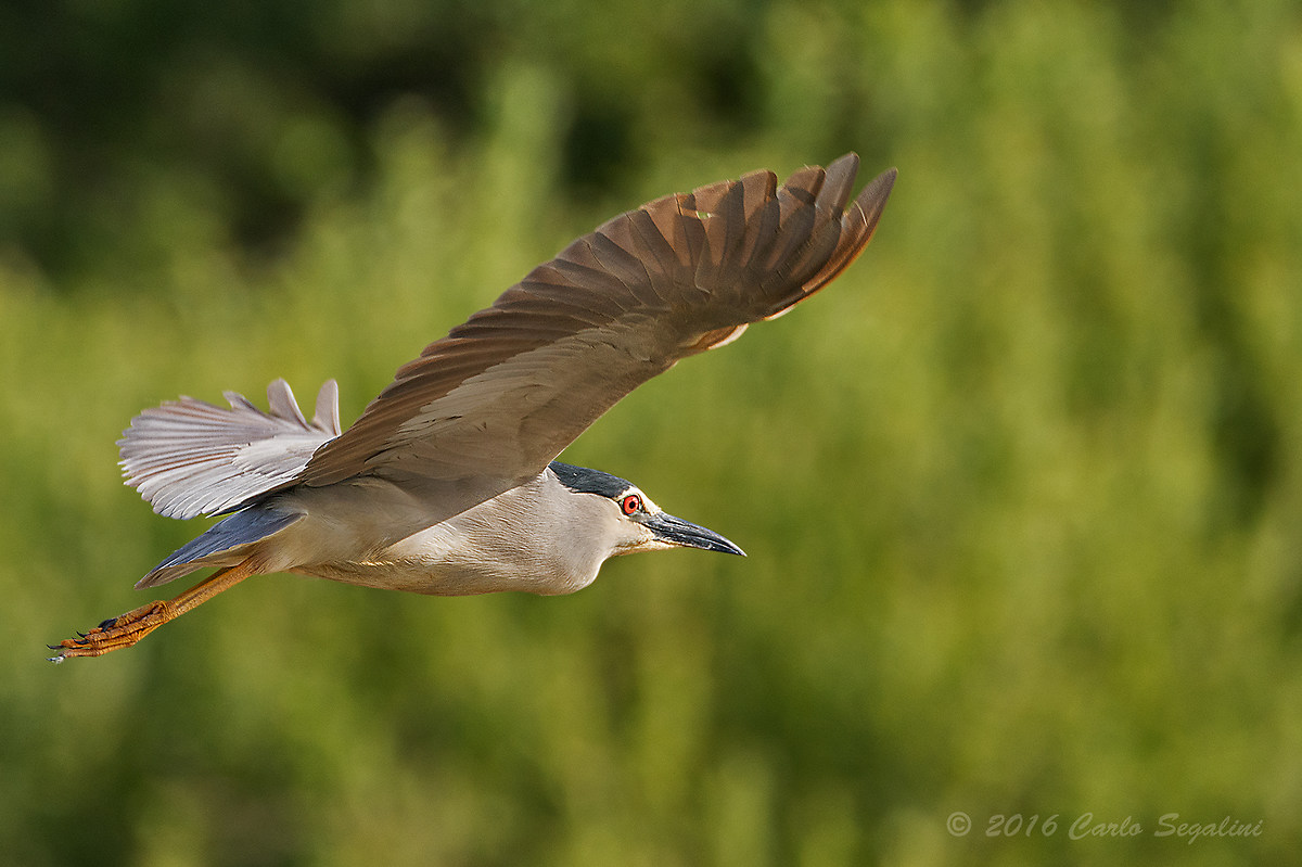 Night heron in flight - photo#40