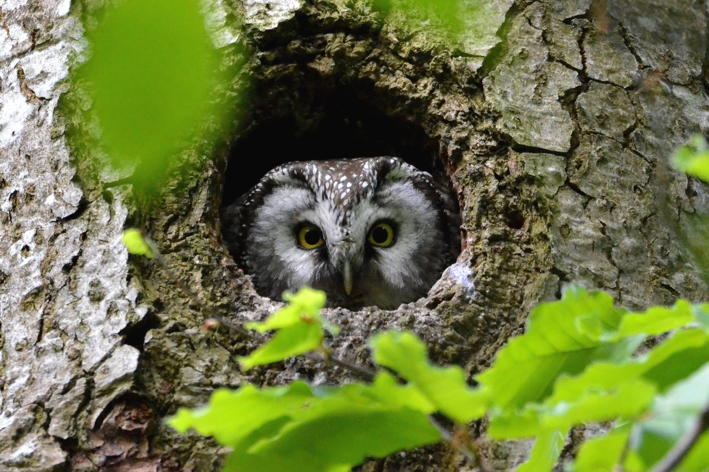 boreal owl to nest...