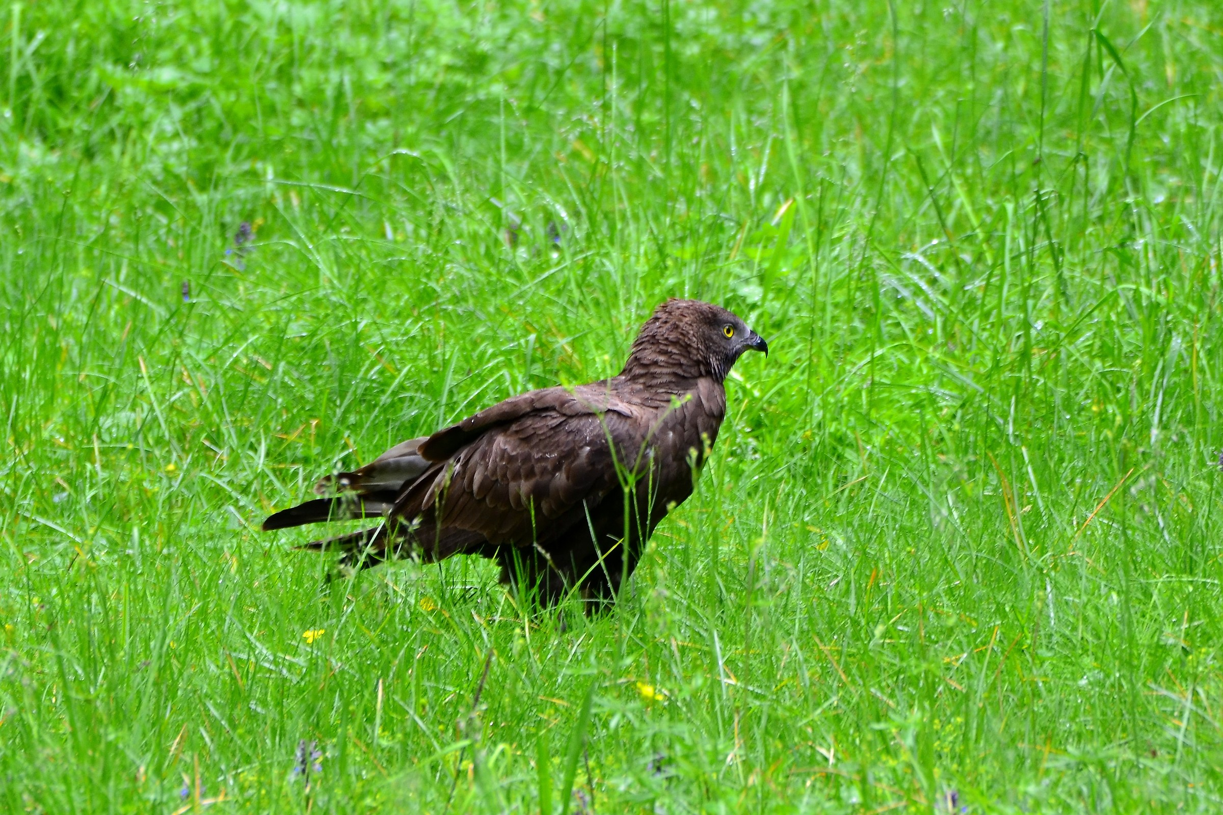 Honey Buzzard female...