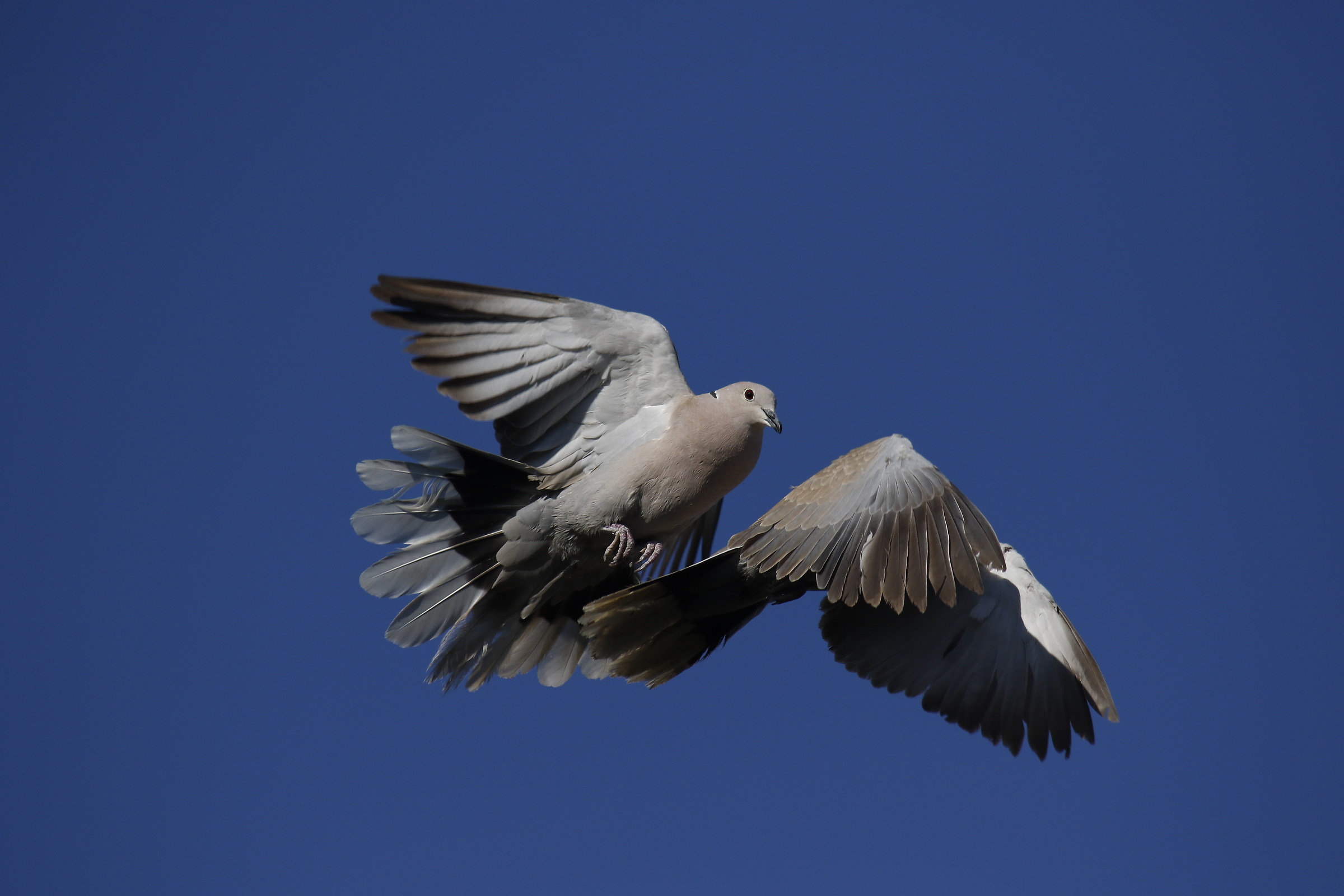 turtledove...