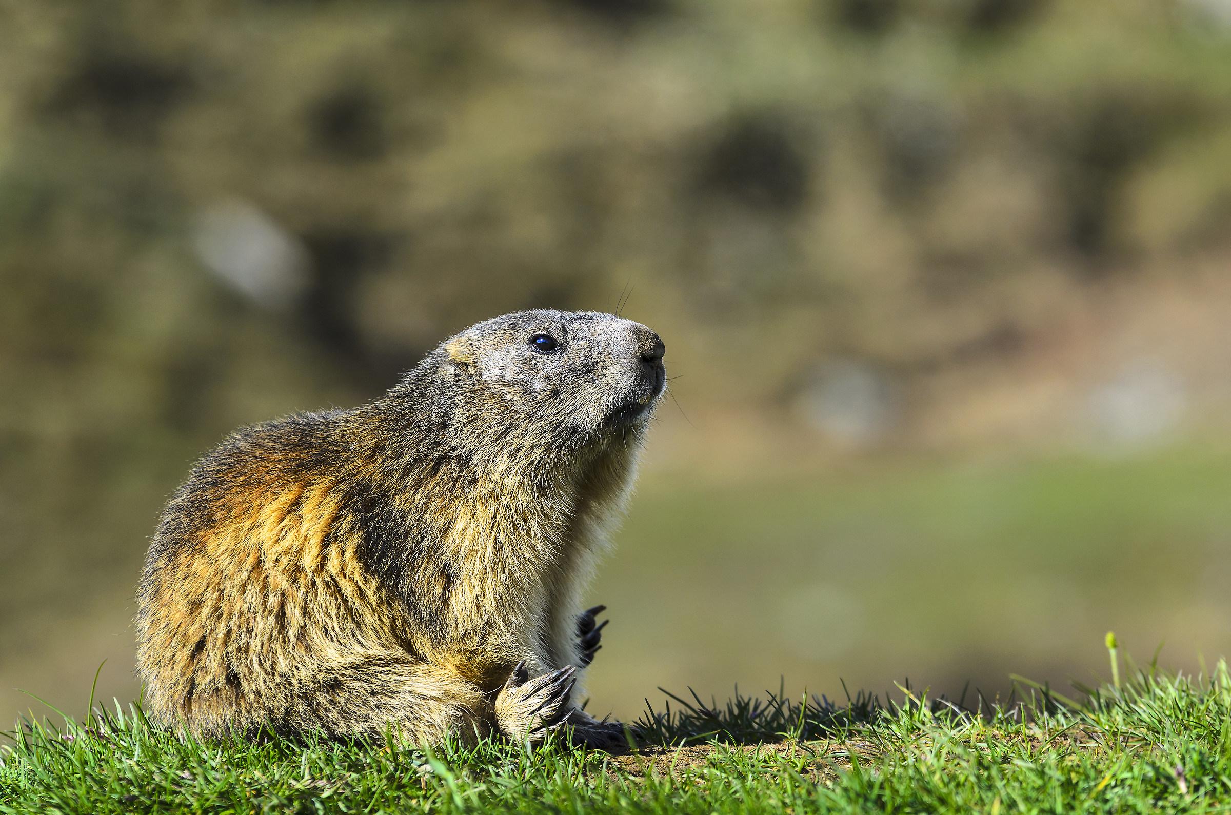 the Marmot...