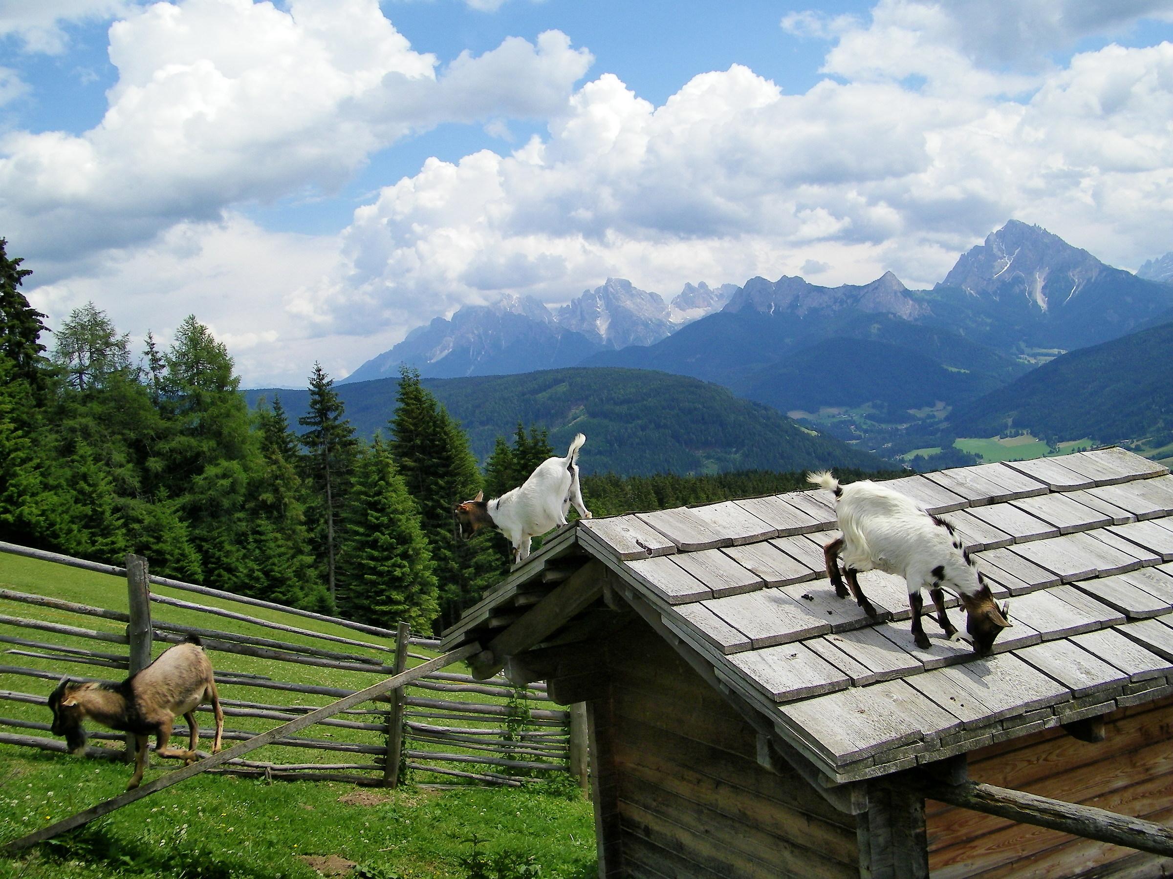 Panorama con capre...