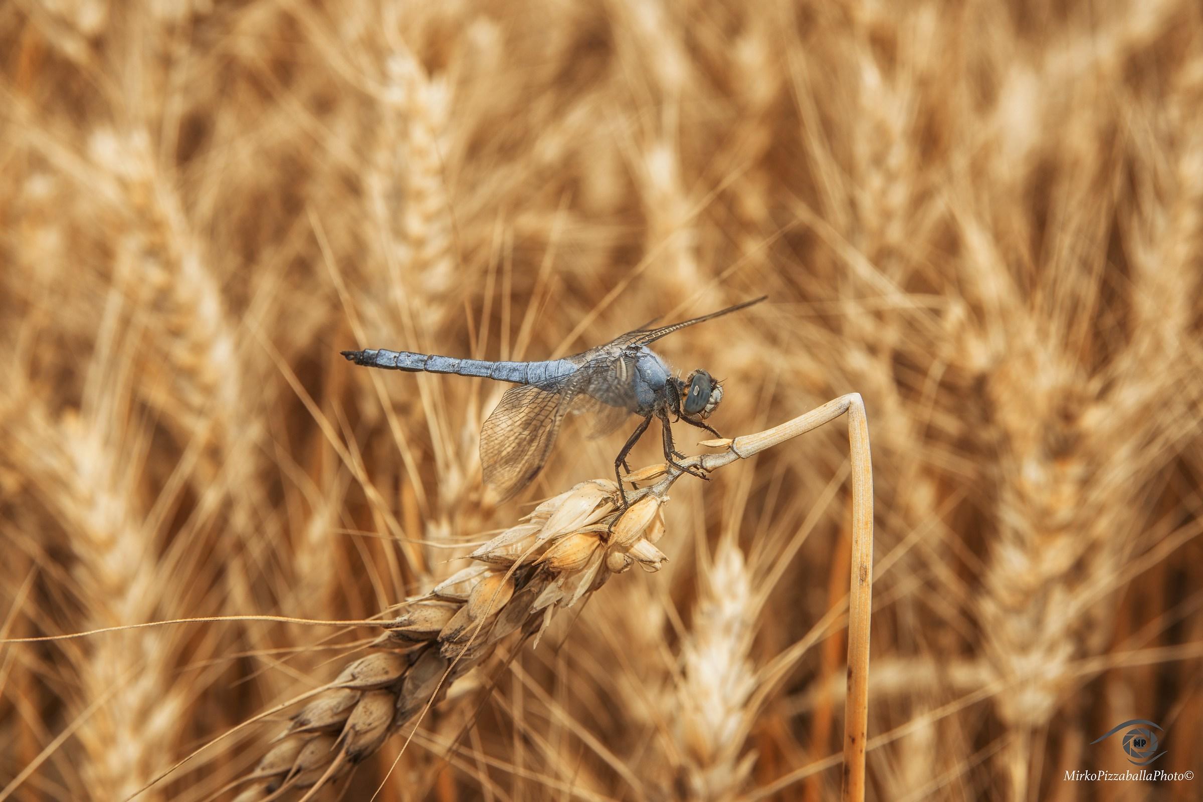libellula...
