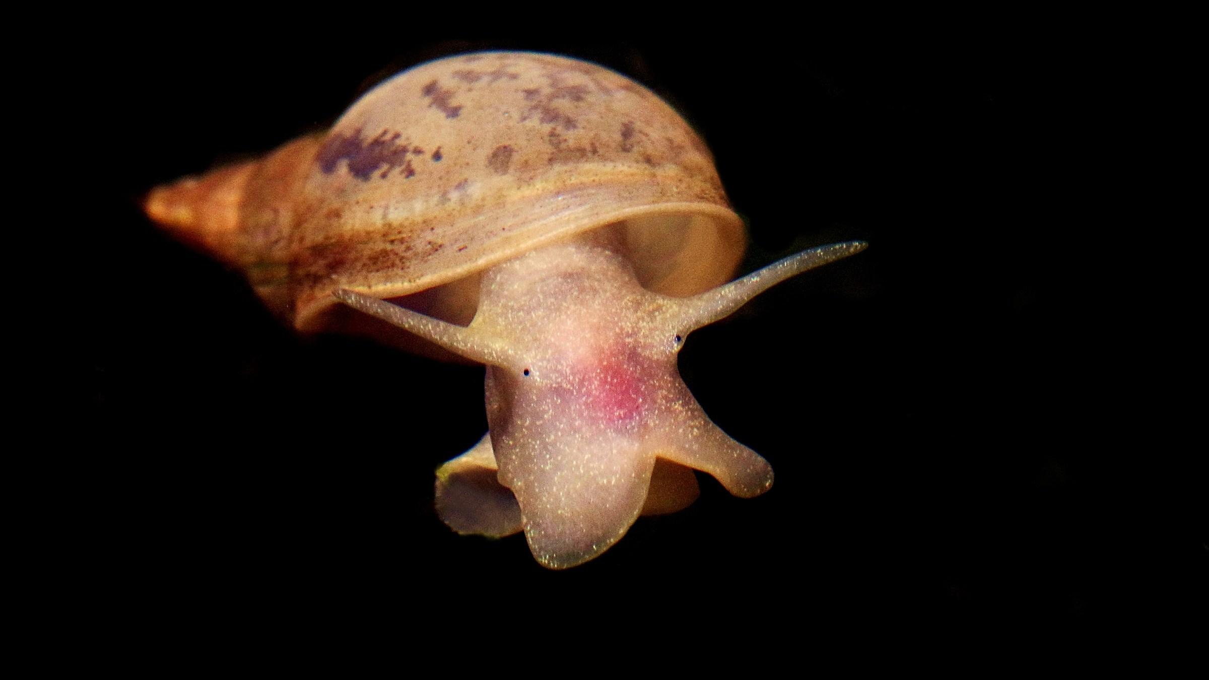 Lymnaea stagnalis...
