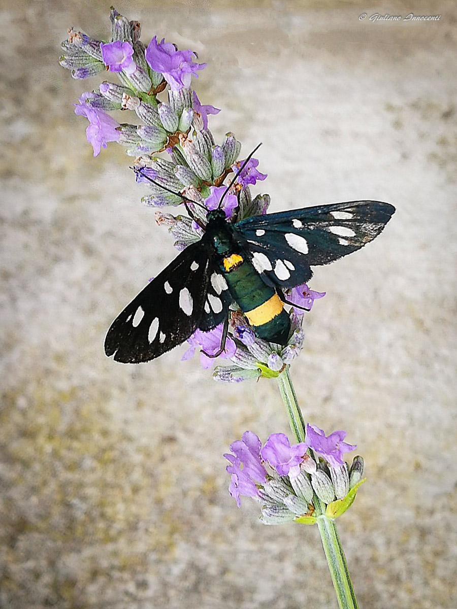 Nine-spotted moth-Test Huawei P9 Plus...