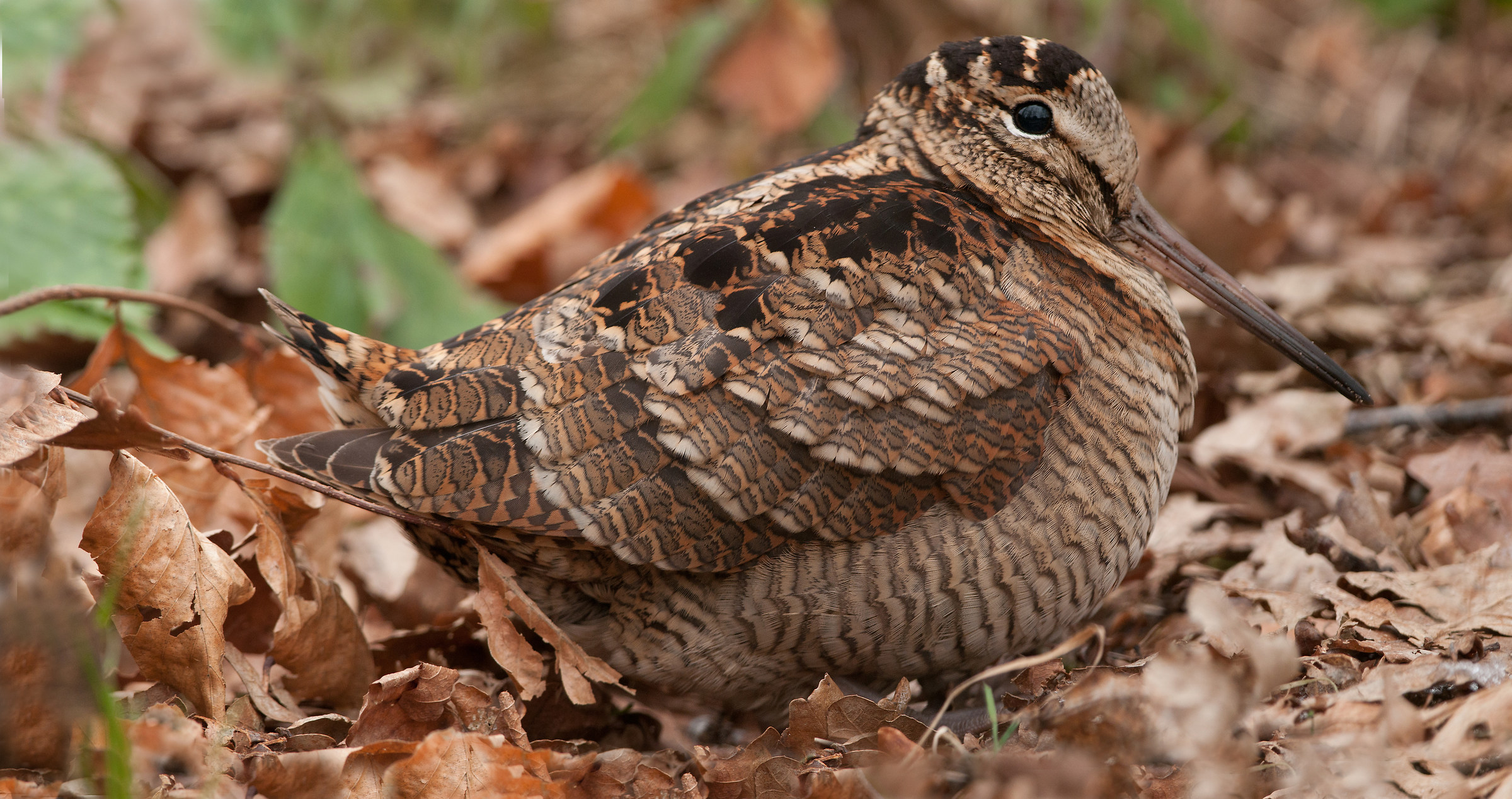 panorama of a woodcock...