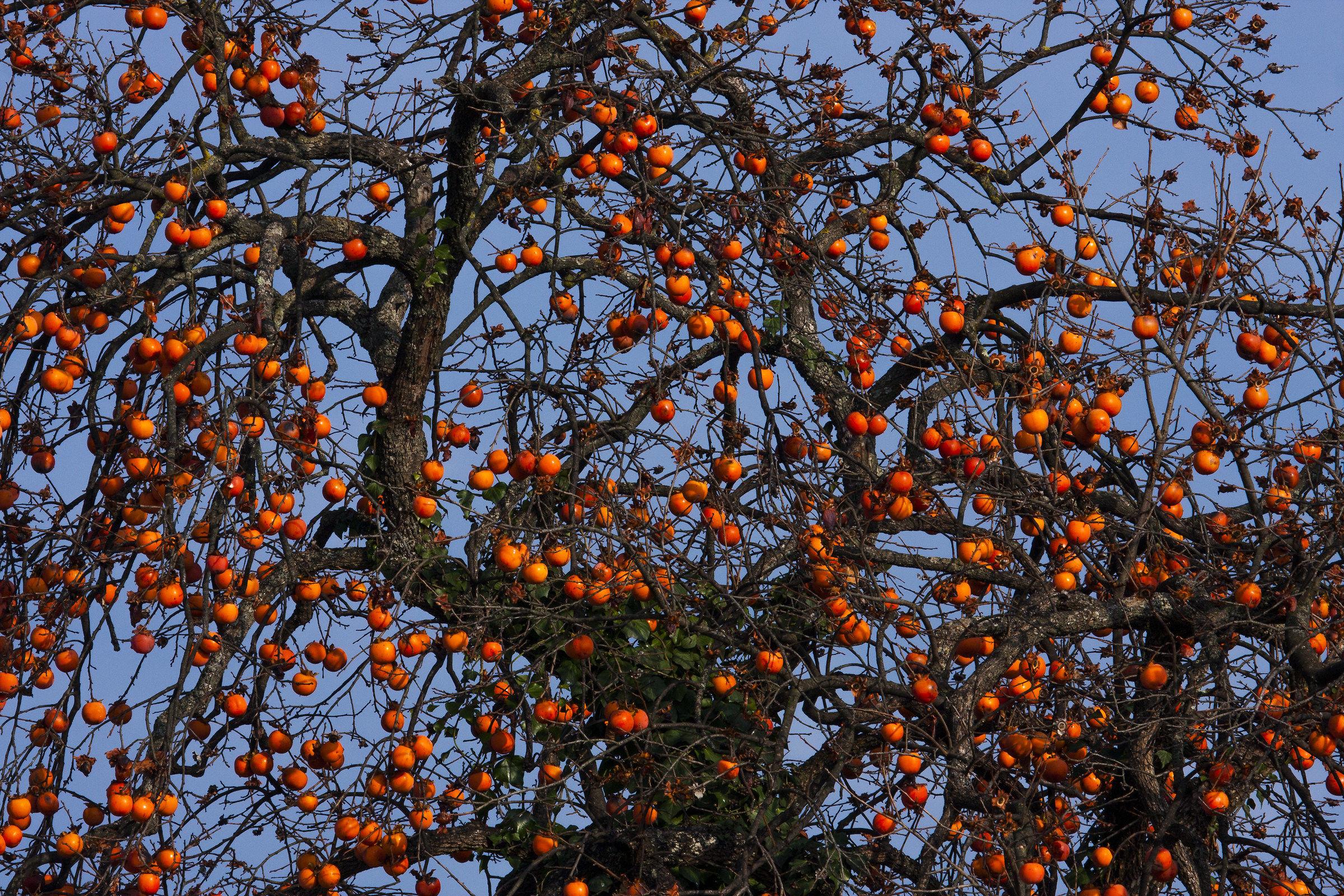 persimmon tree...
