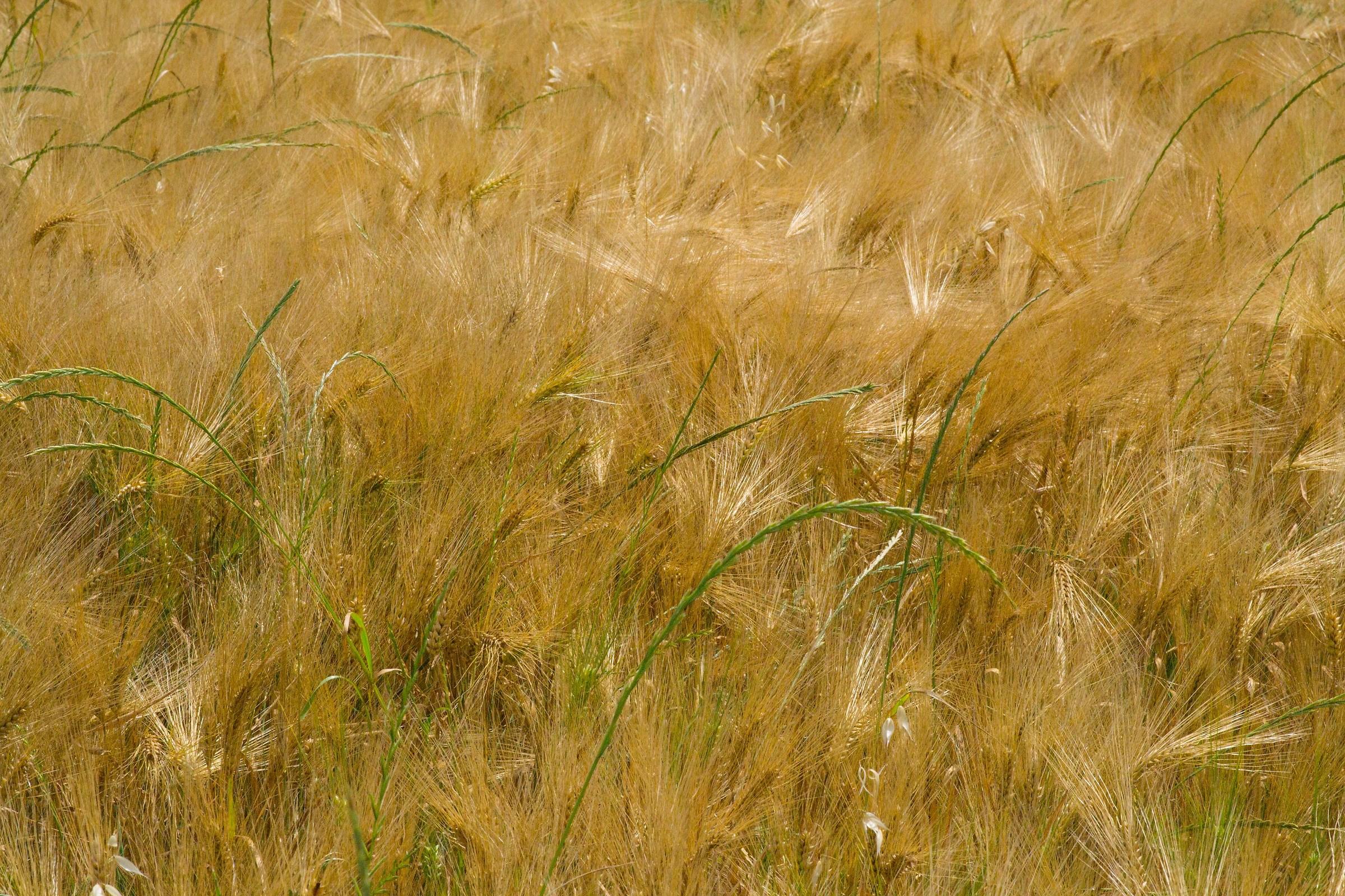 Campi di grano...