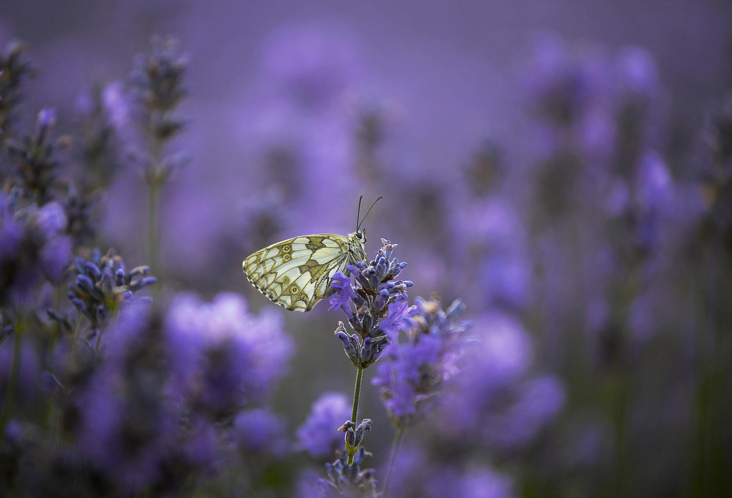 lavender 2...