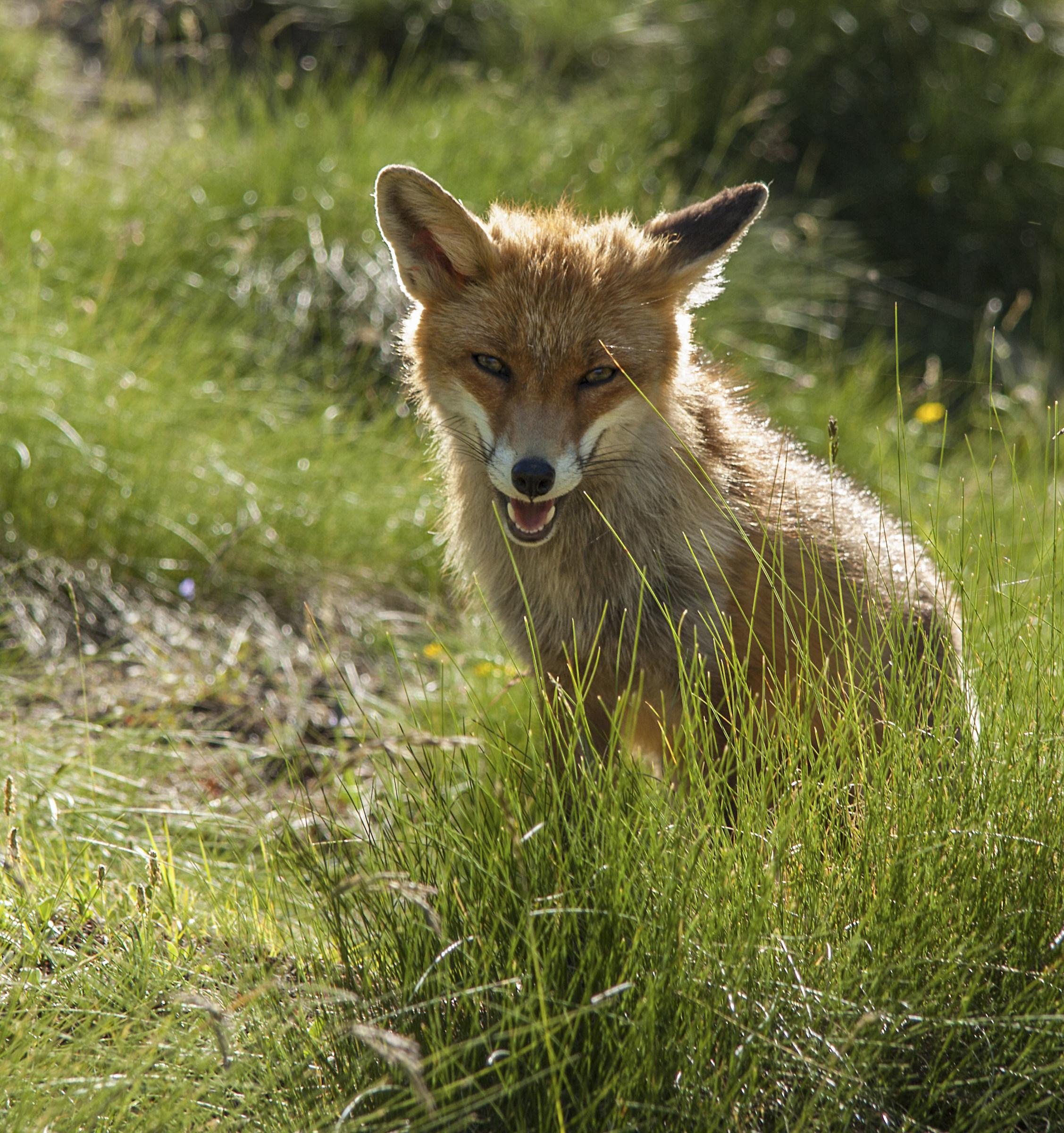 Fox...