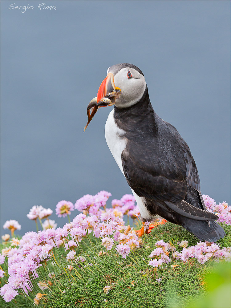 Flowers and puffin...