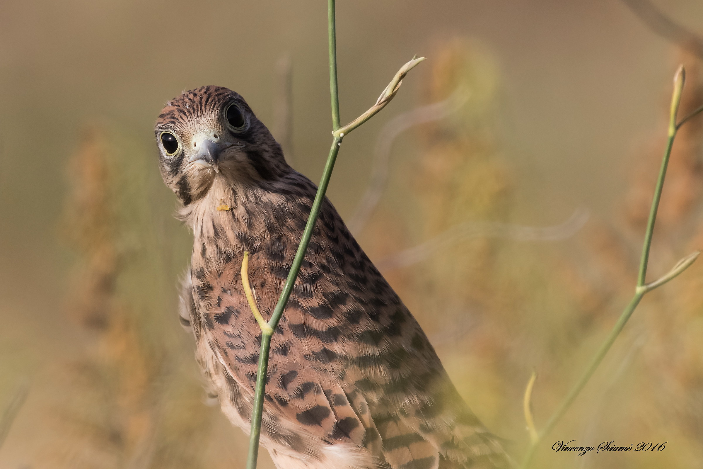Young kestrel....
