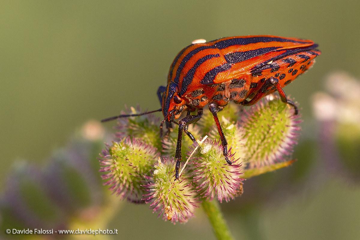 Bedbug Milan player at sunset...