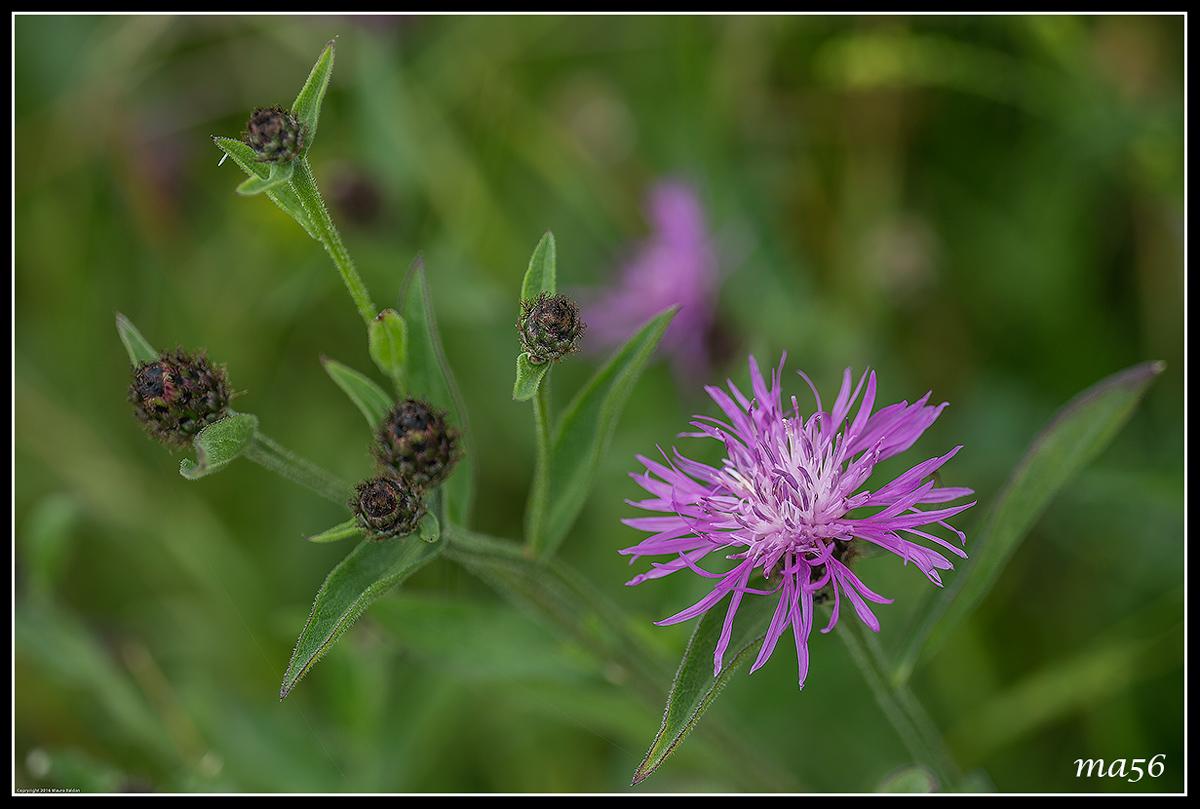 Cornflower...