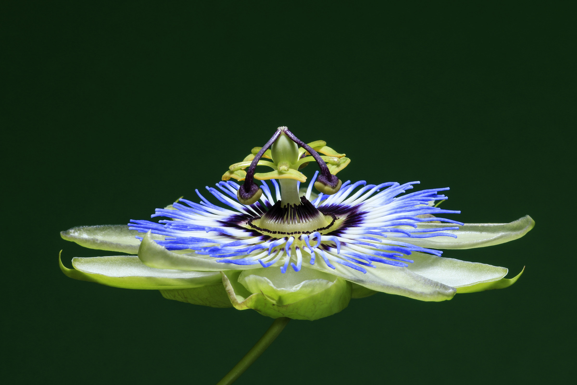 passionflower...