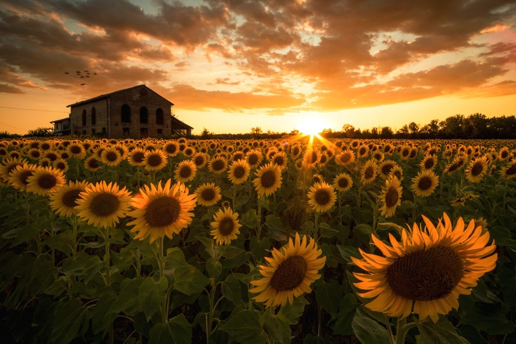 Sunset and sunflowers...