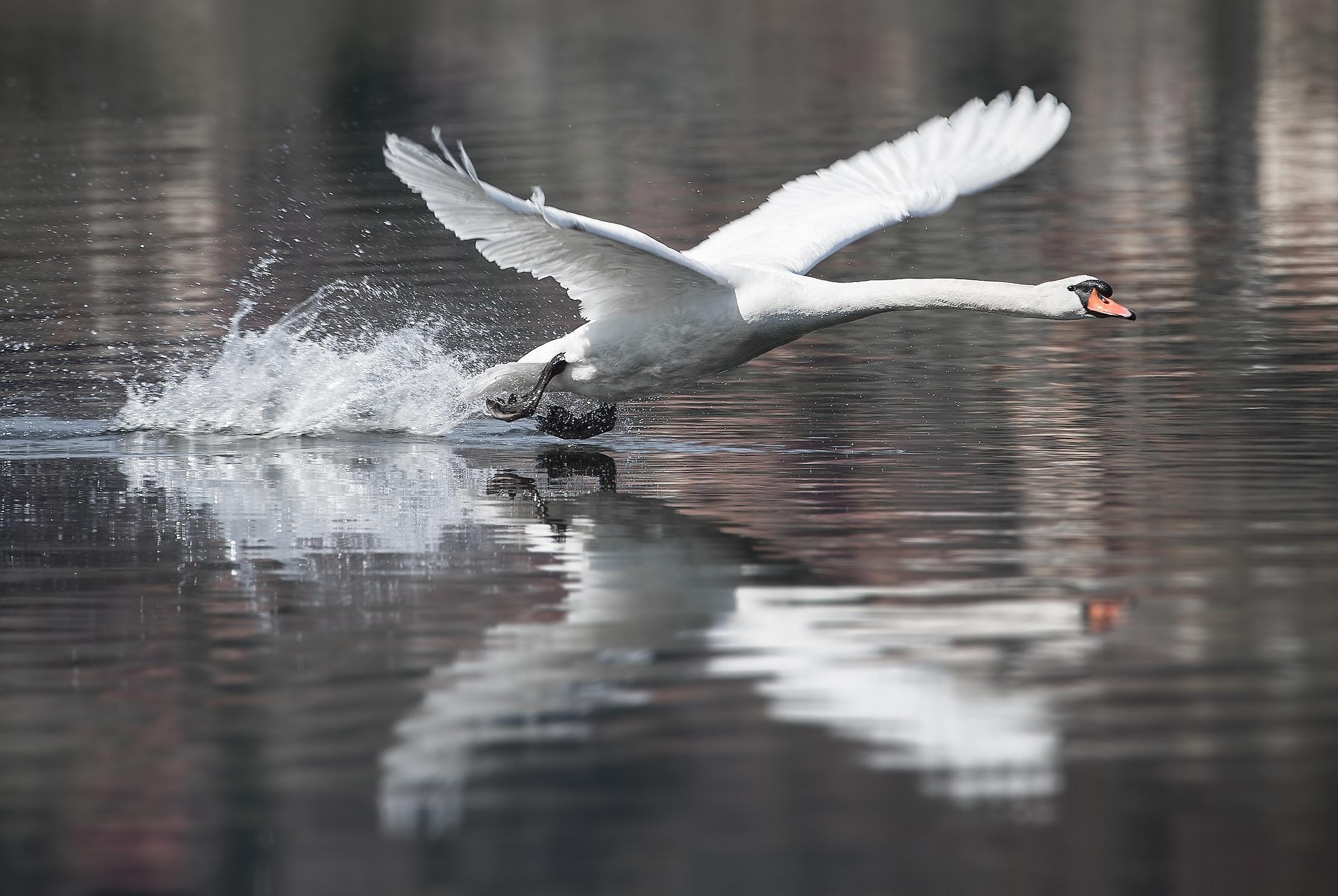 Il decollo del principe del lago...