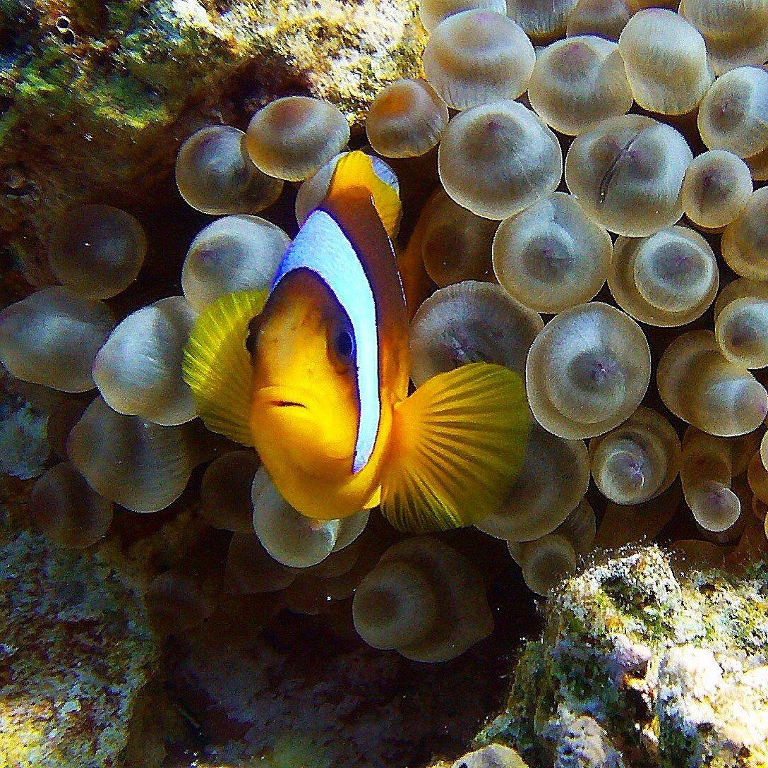 Foto subacquea by lanfranco randi juzaphoto for Pesce pagliaccio foto