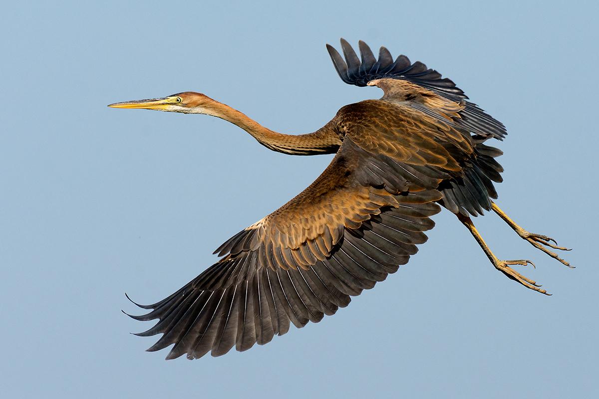 Heron in flight (2)...