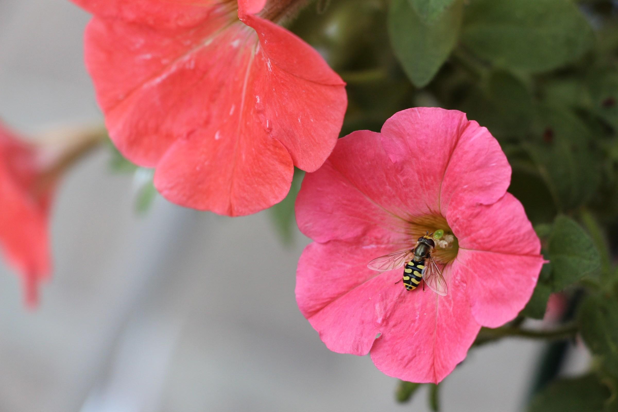 Among the petunias ......