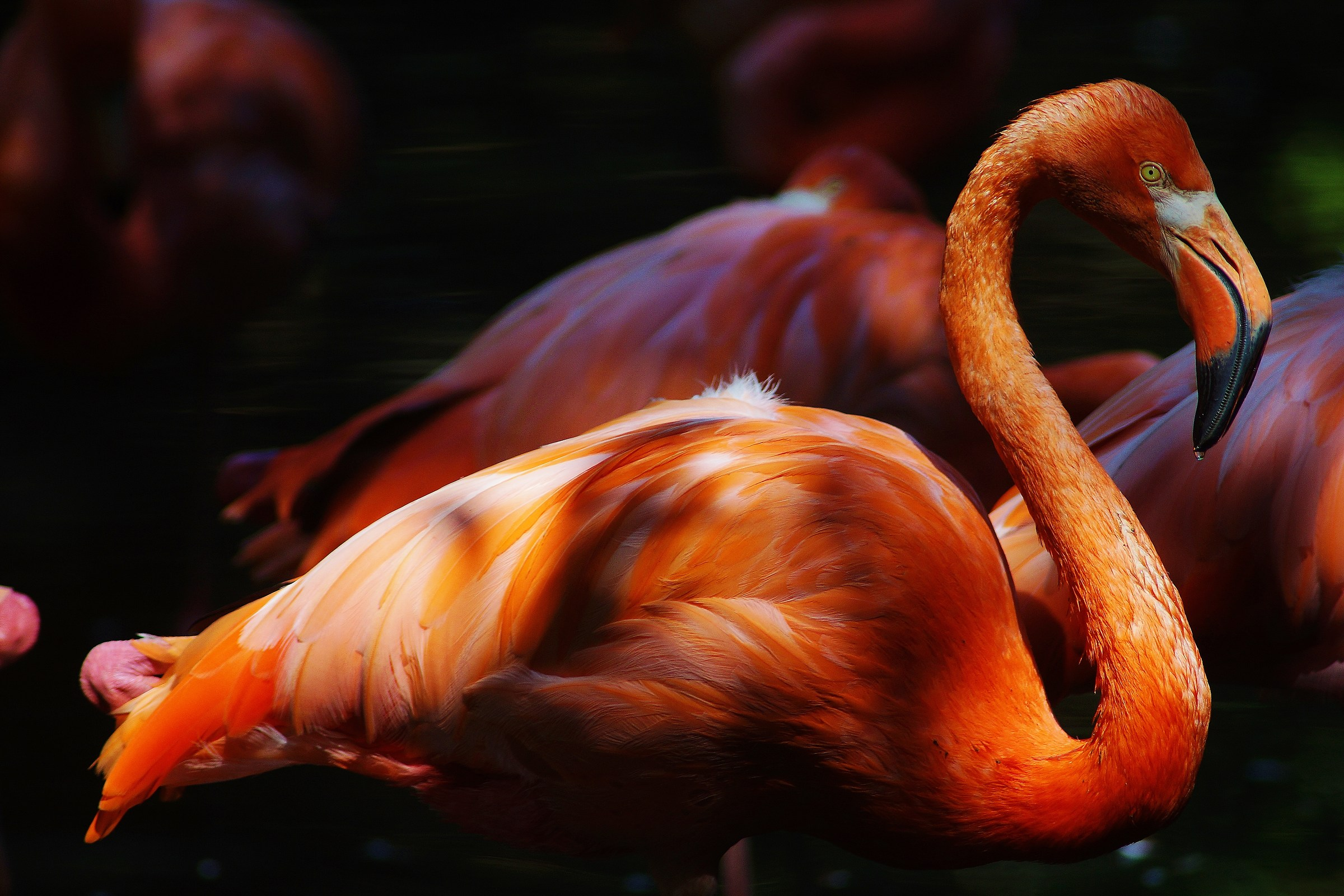 greater flamingo...