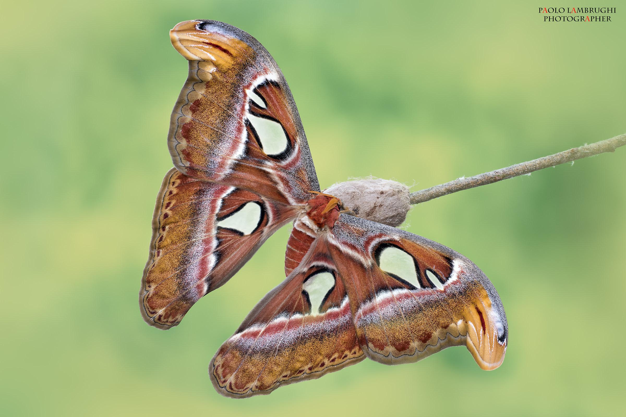 butterfly Cobra...