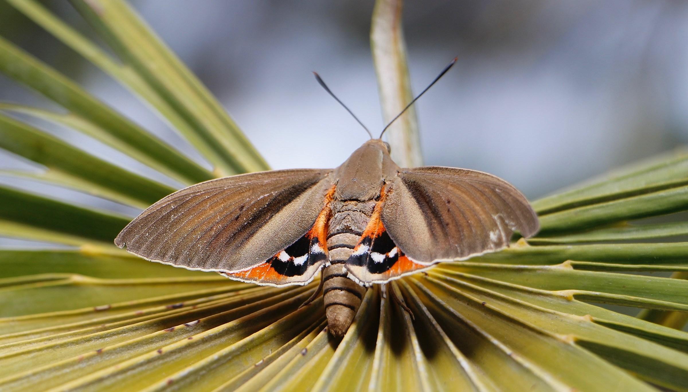 Butterfly Fiaschetino...