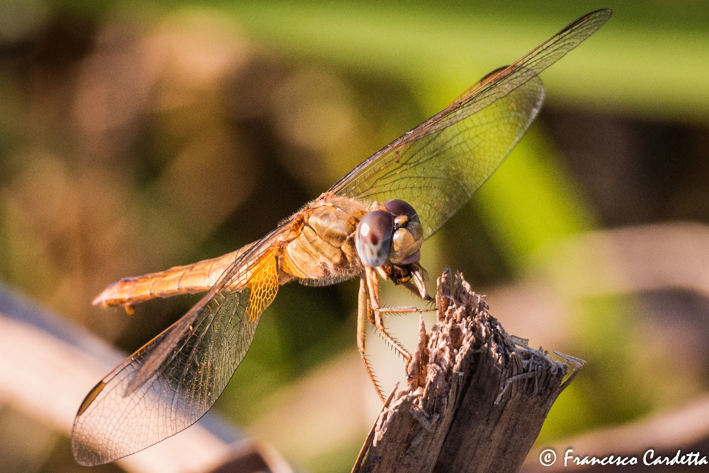Dragonfly lunch - lunch of a dragonfly...