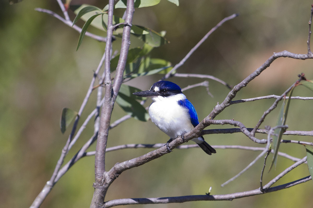 forest kingfisher 2...