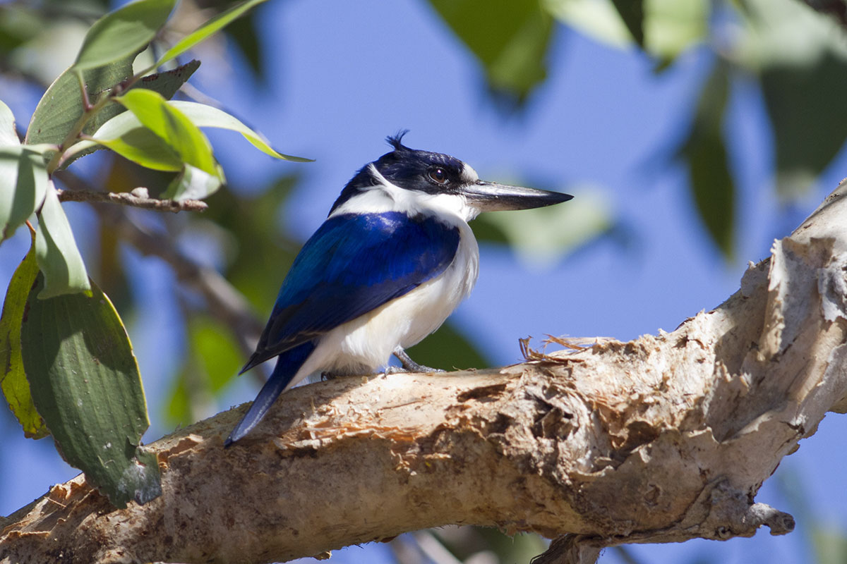 forest kingfisher 3...
