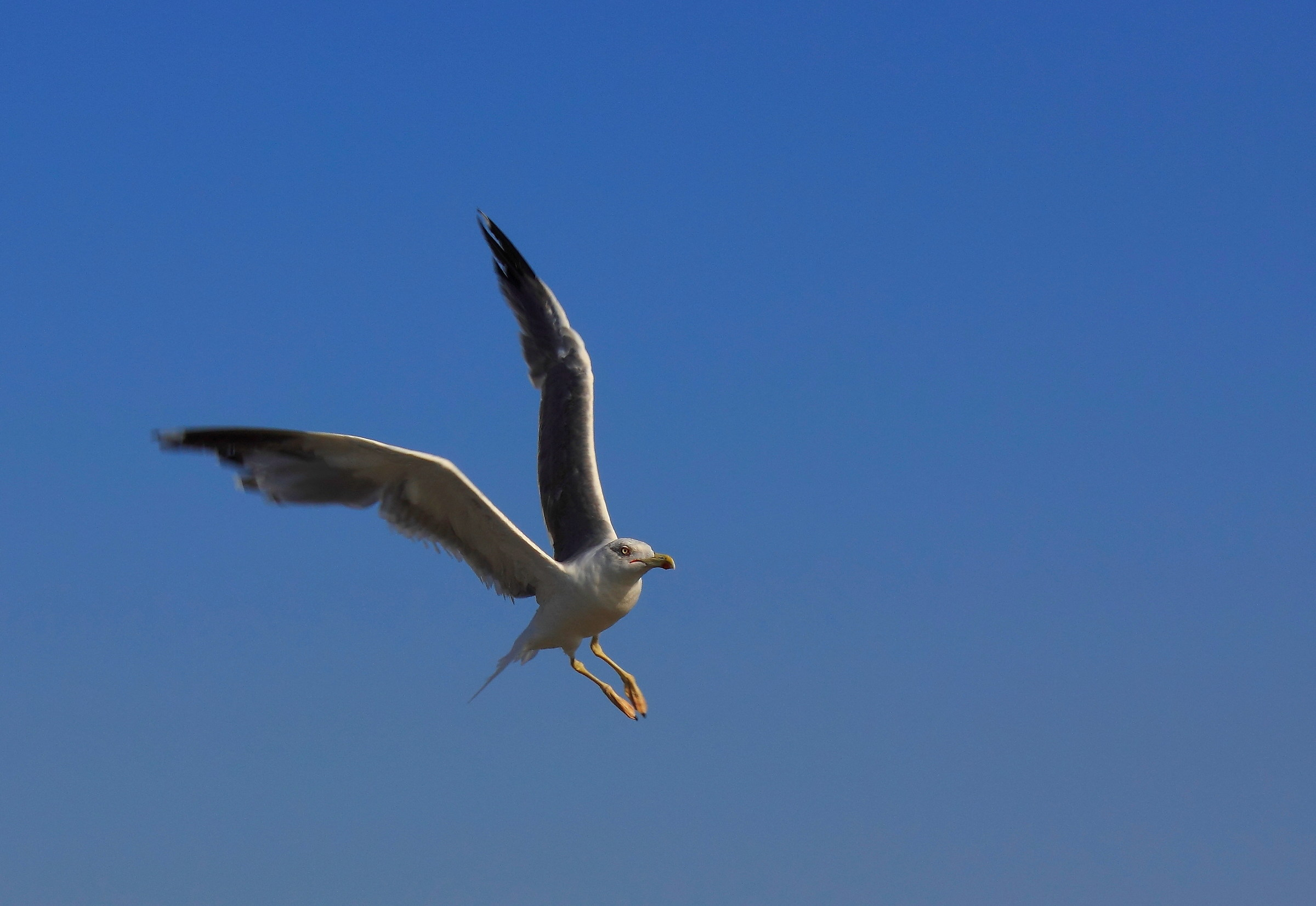 herring gull...