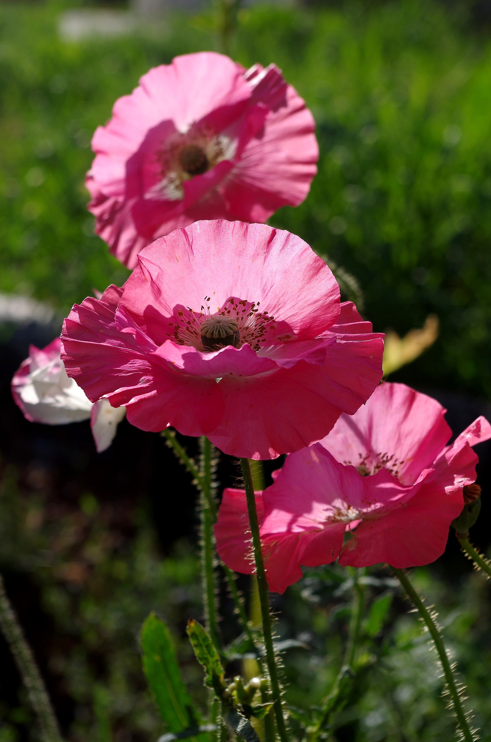 pink poppies...