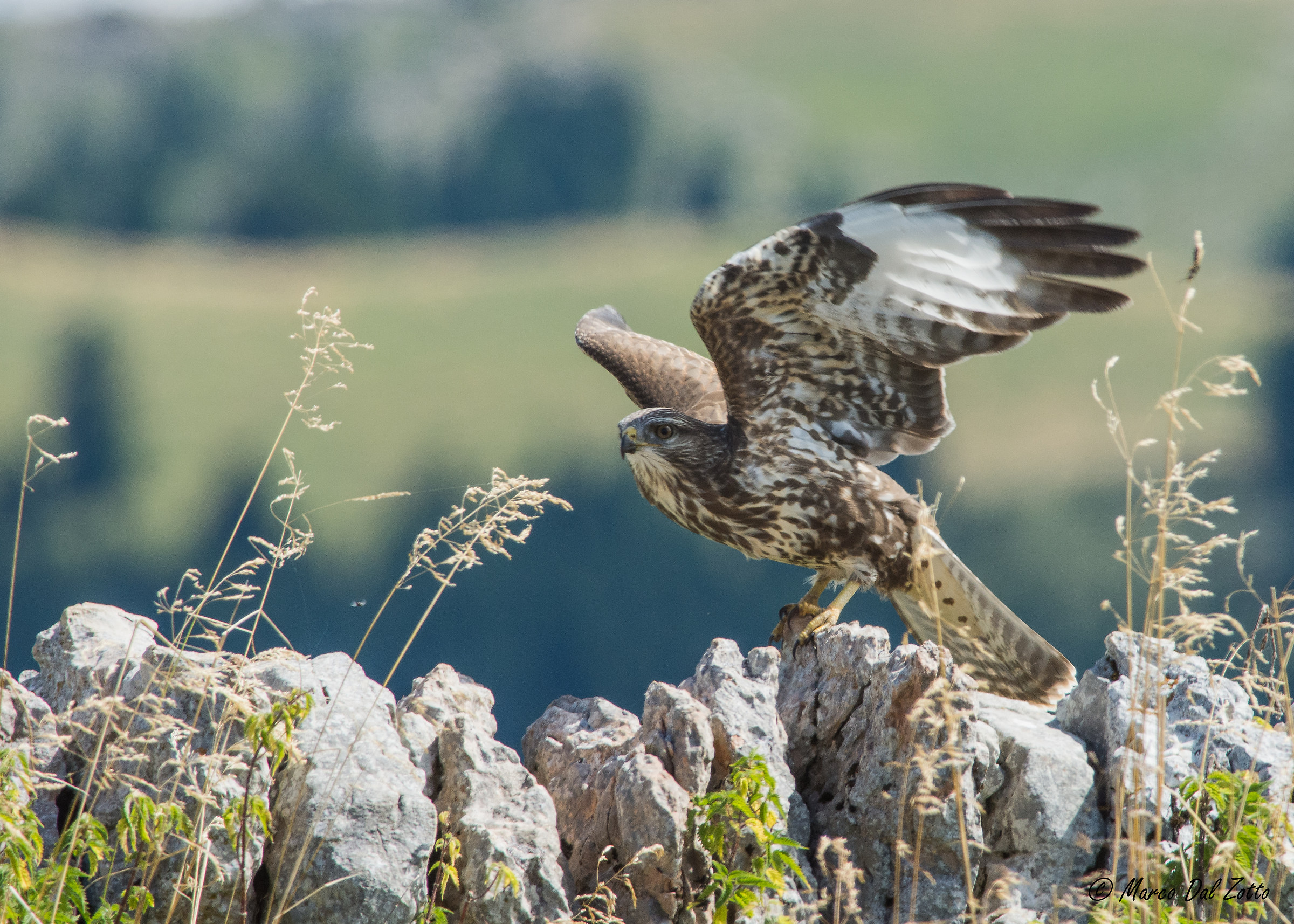 The fledging of the buzzard...
