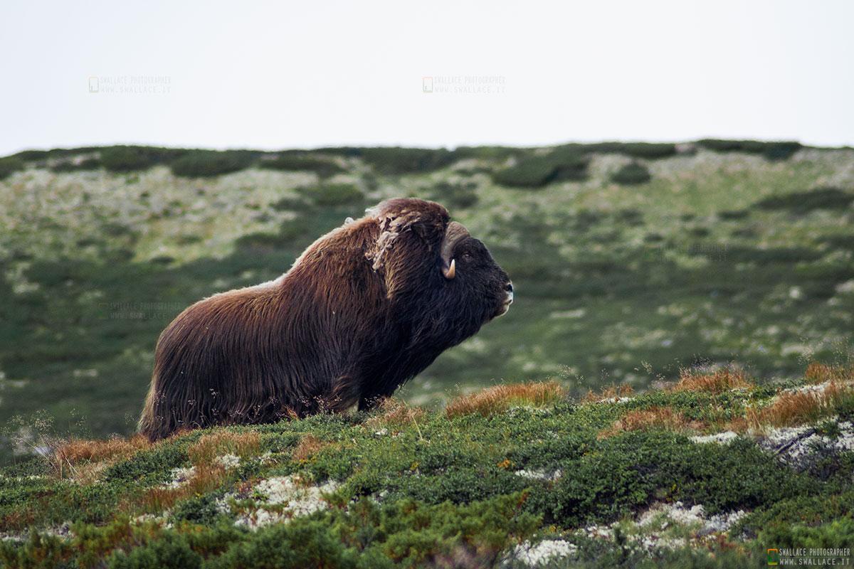 "BUE muschiato - Norvegia - "" Dovrefjell national park""..."