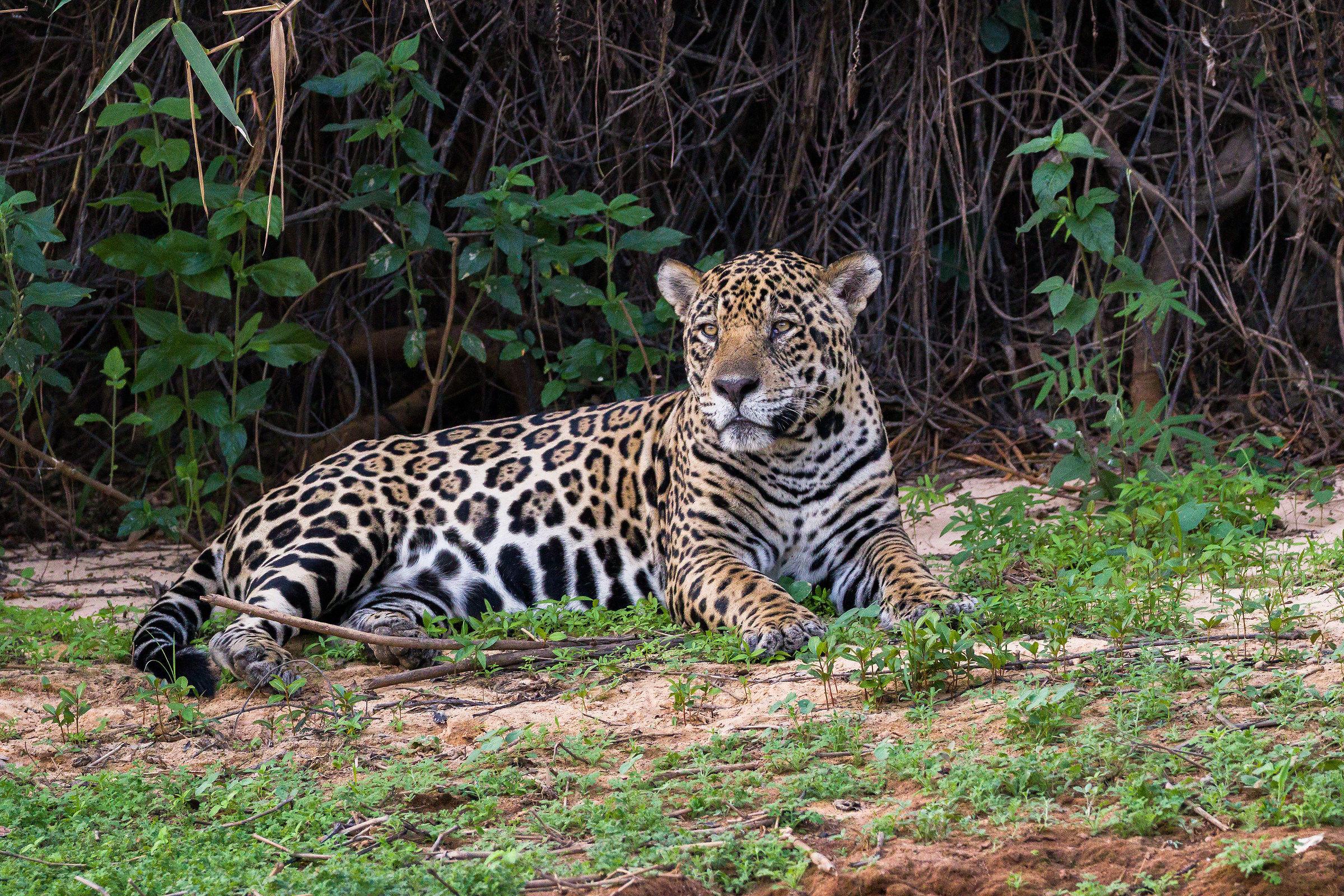 The dominant Jaguar...