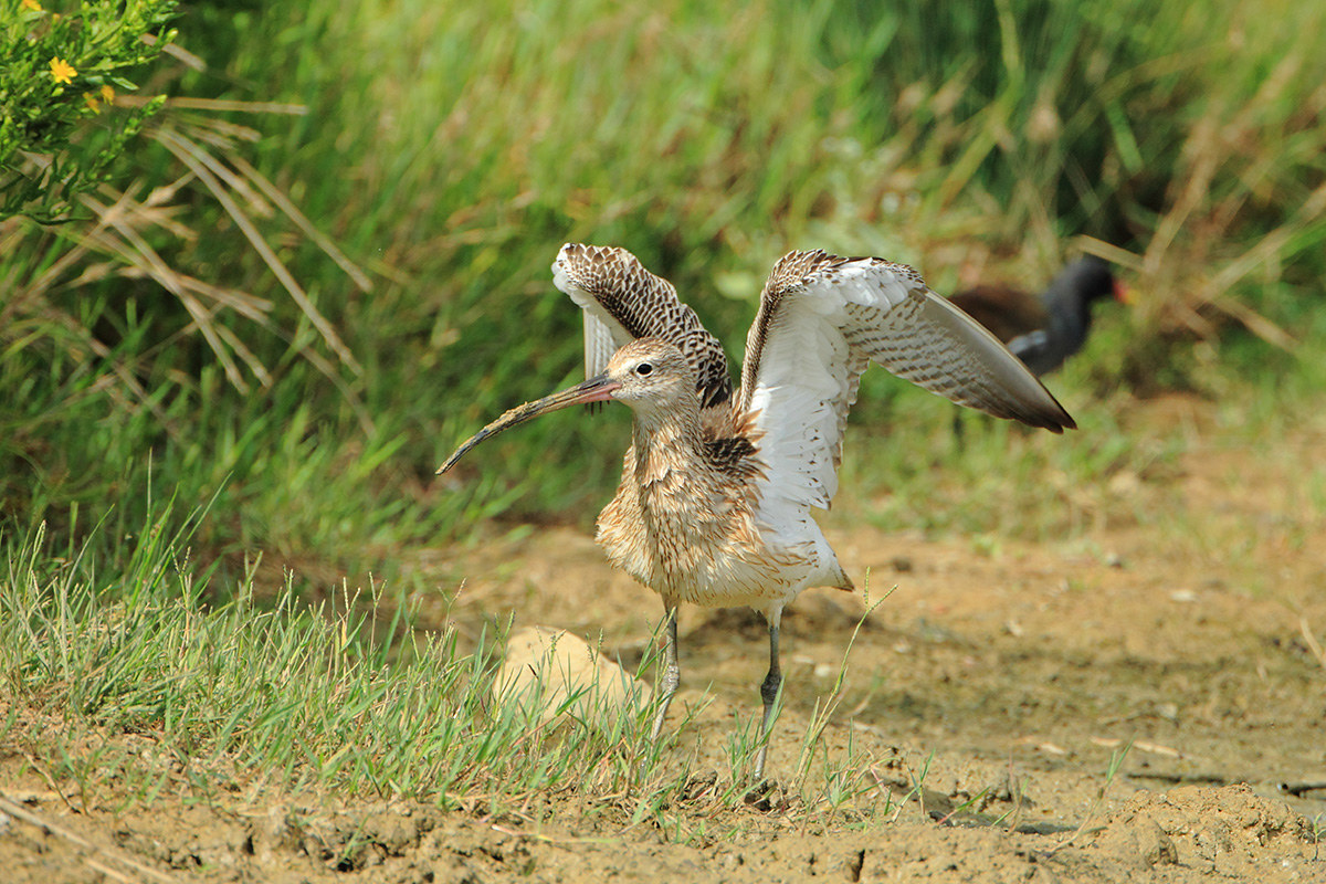 Curlew...
