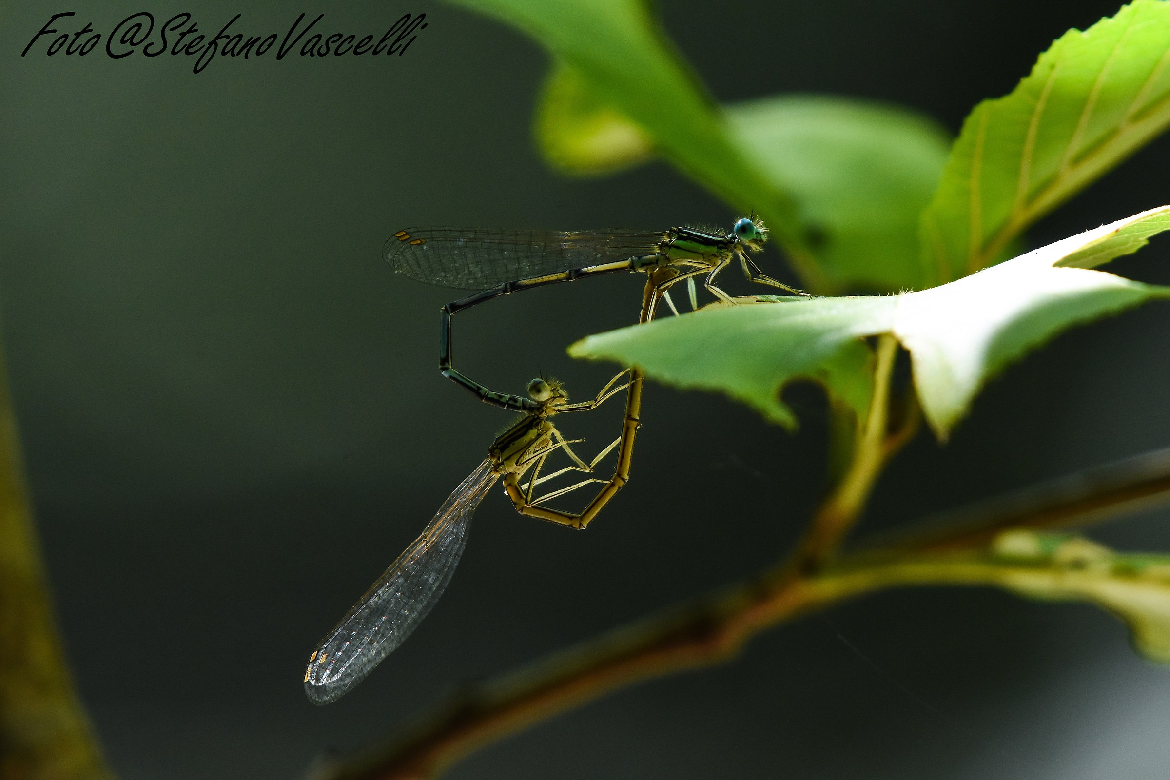 Pair of Dragonflies...