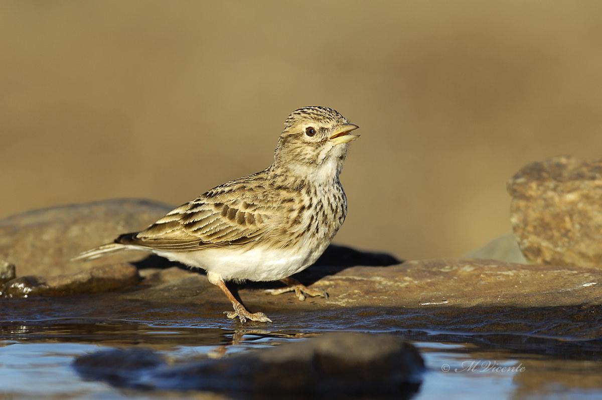Lesser short-toed lark...