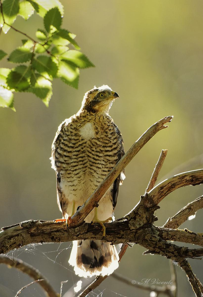 Sparrowhawk...