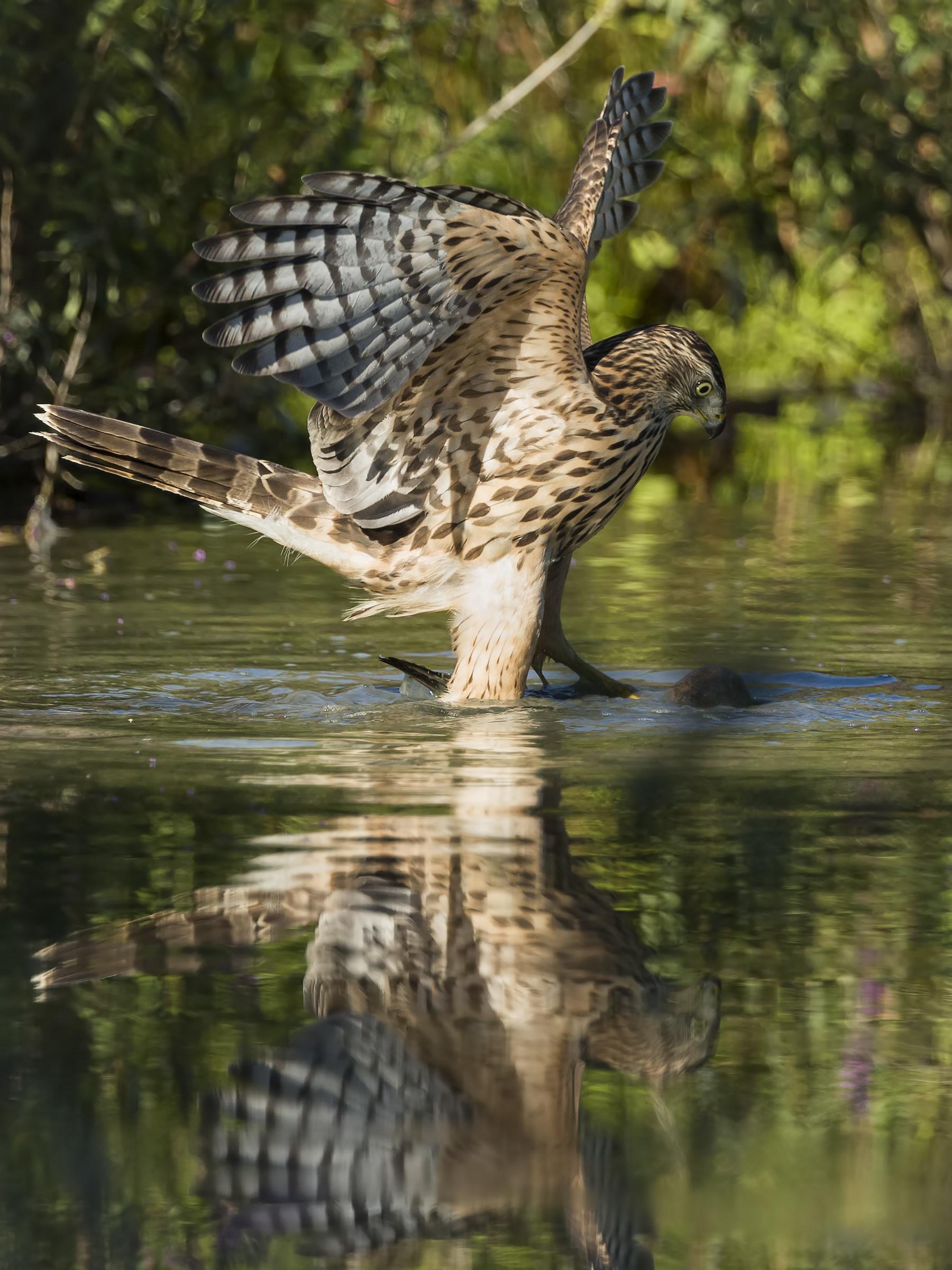 Goshawk with prey - drowning...